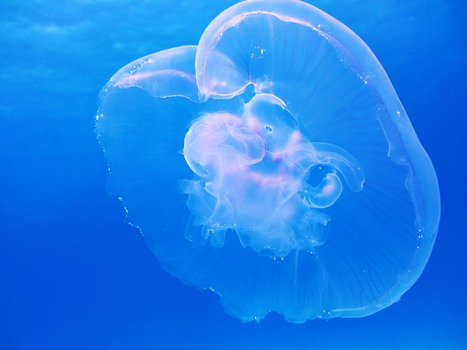 Free stock photo of blue, transparent, underwater, jellyfish
