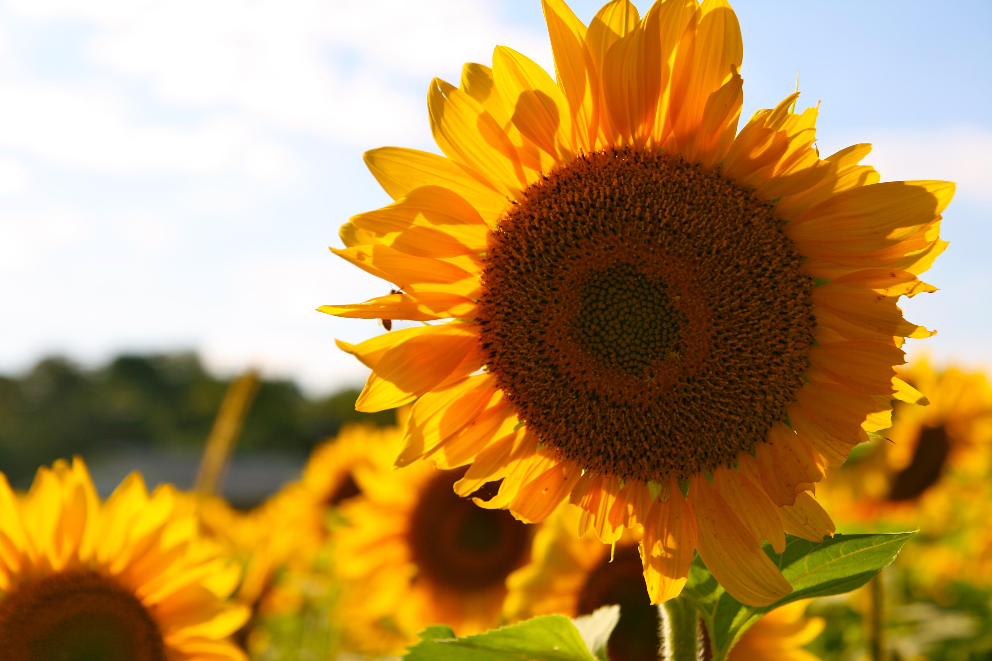 Yellow Brown Sun Flower During Daytime 183 Free Stock Photo