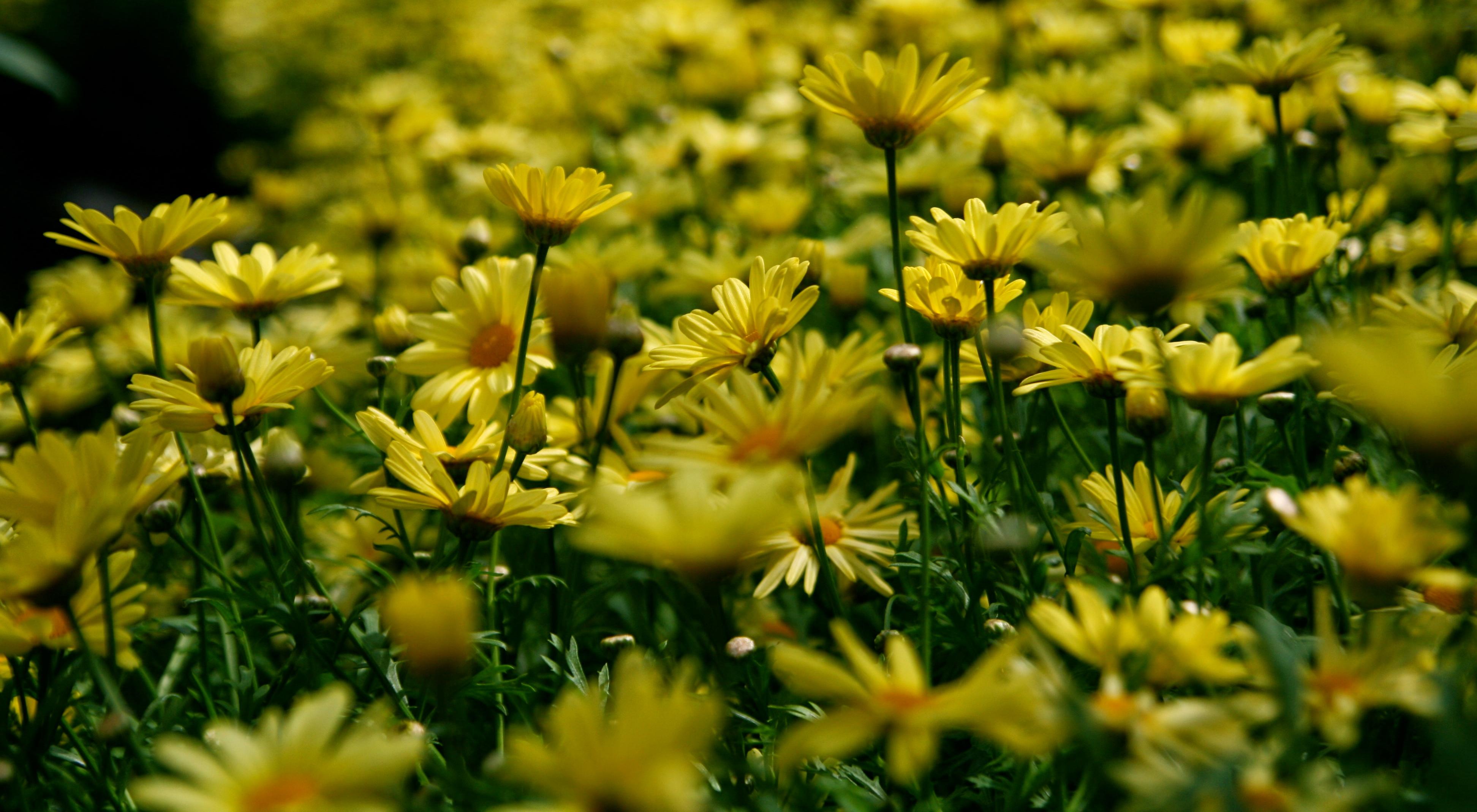 Yellow Petal Flower Field · Free Stock Photo