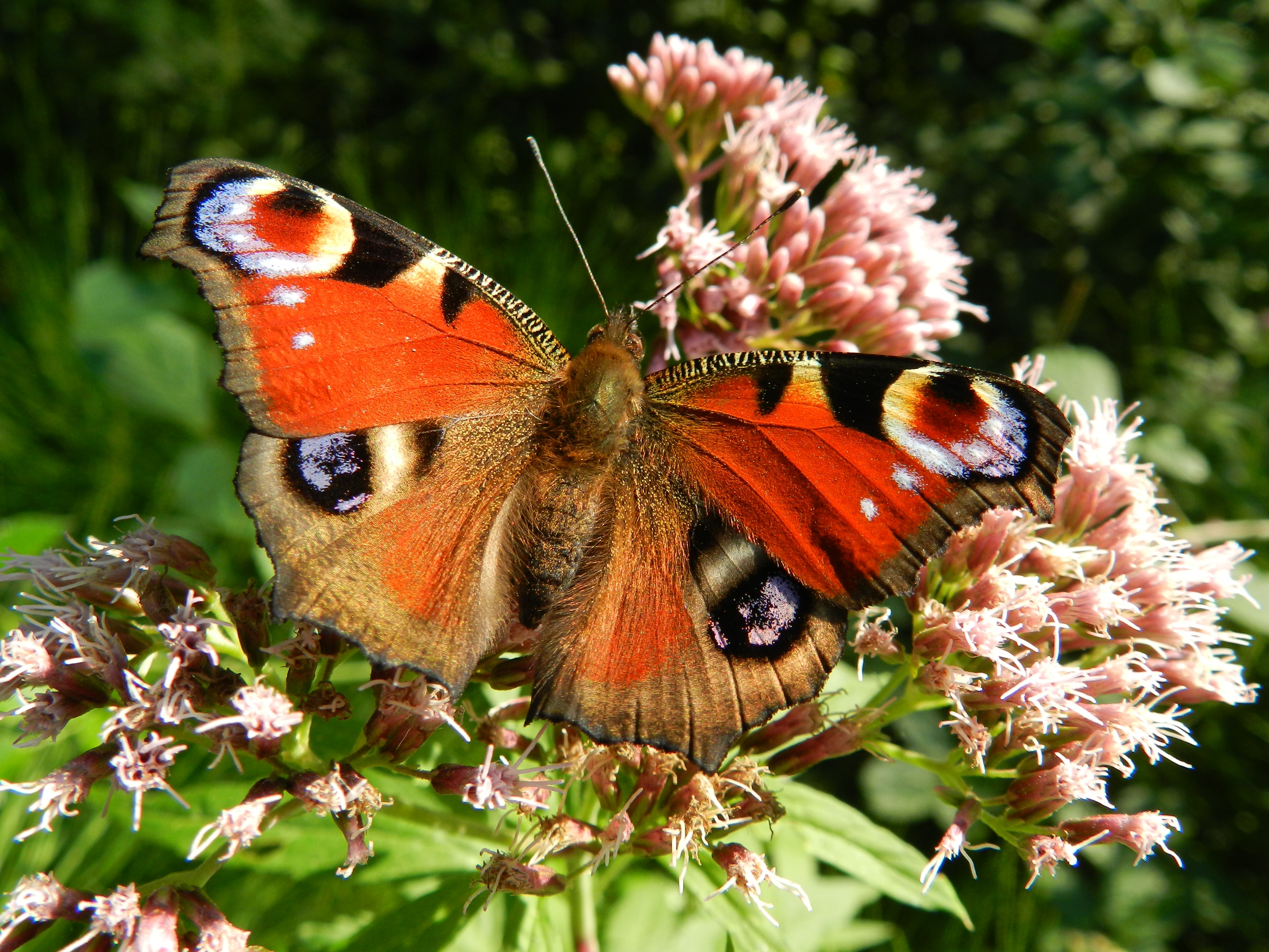 red brown white butterfly on top of pink clustered flower free
