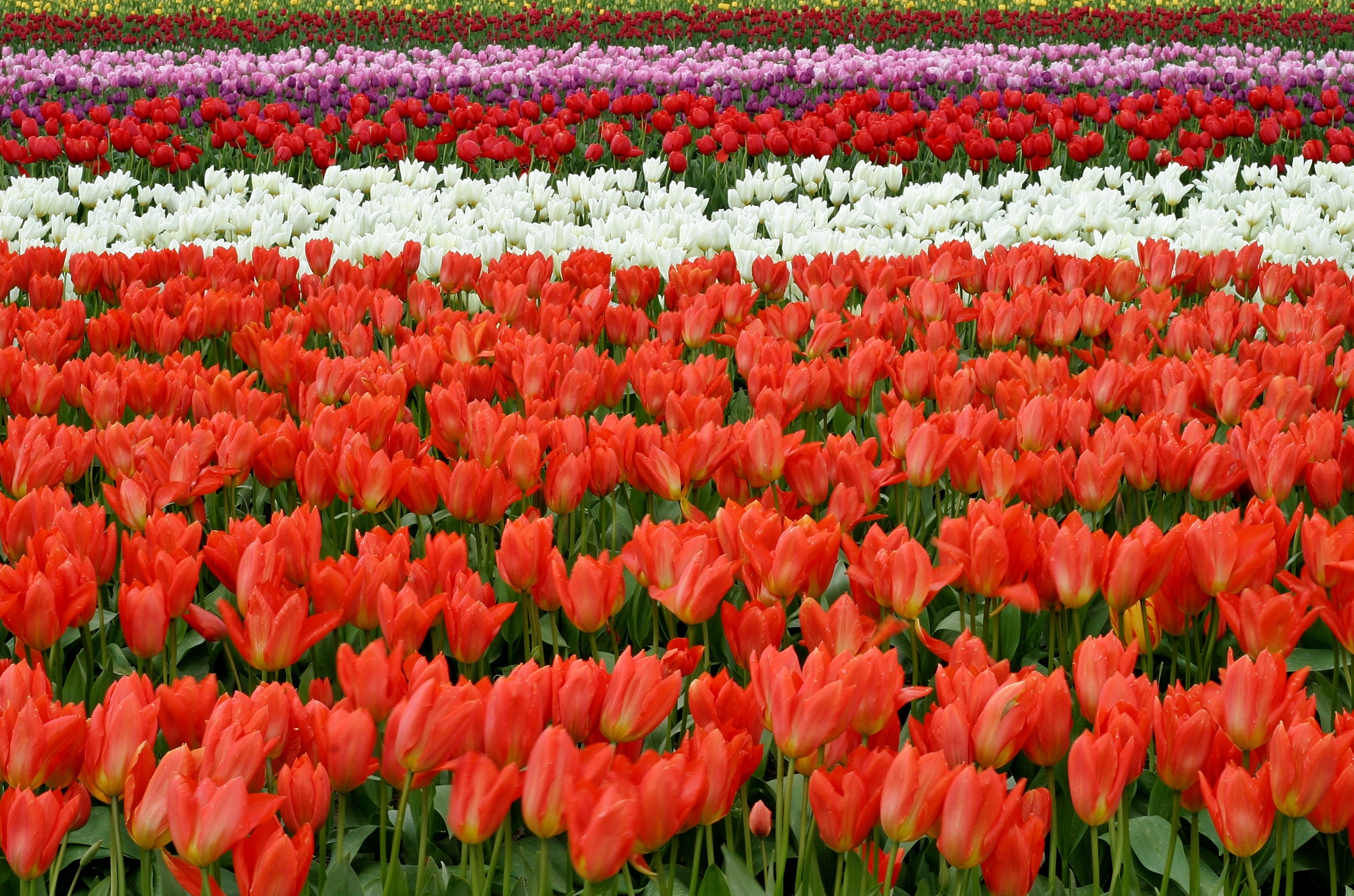 red white and pink flower fields during daytime free stock photo