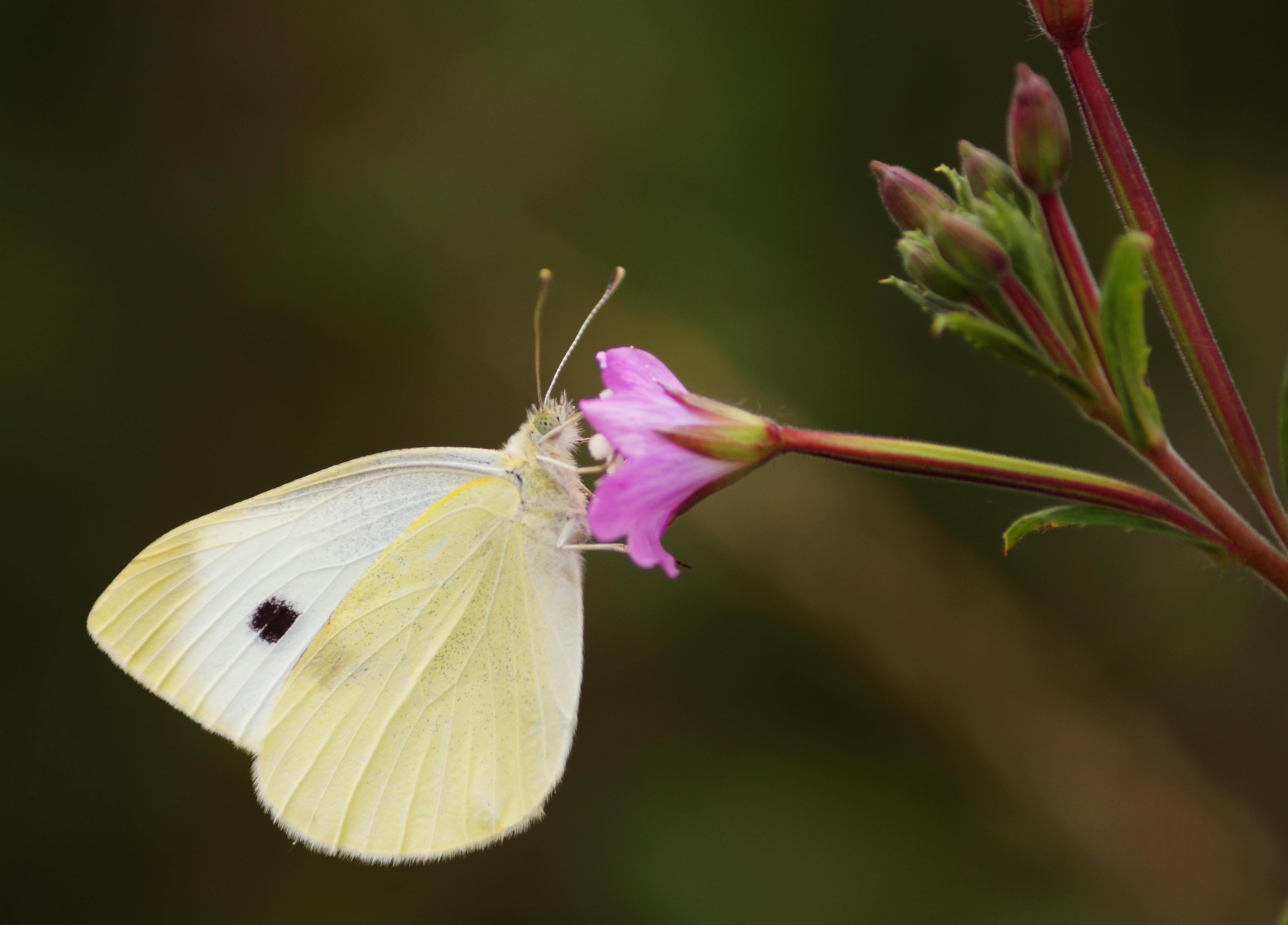 free stock photo of animal brimstone butterfly