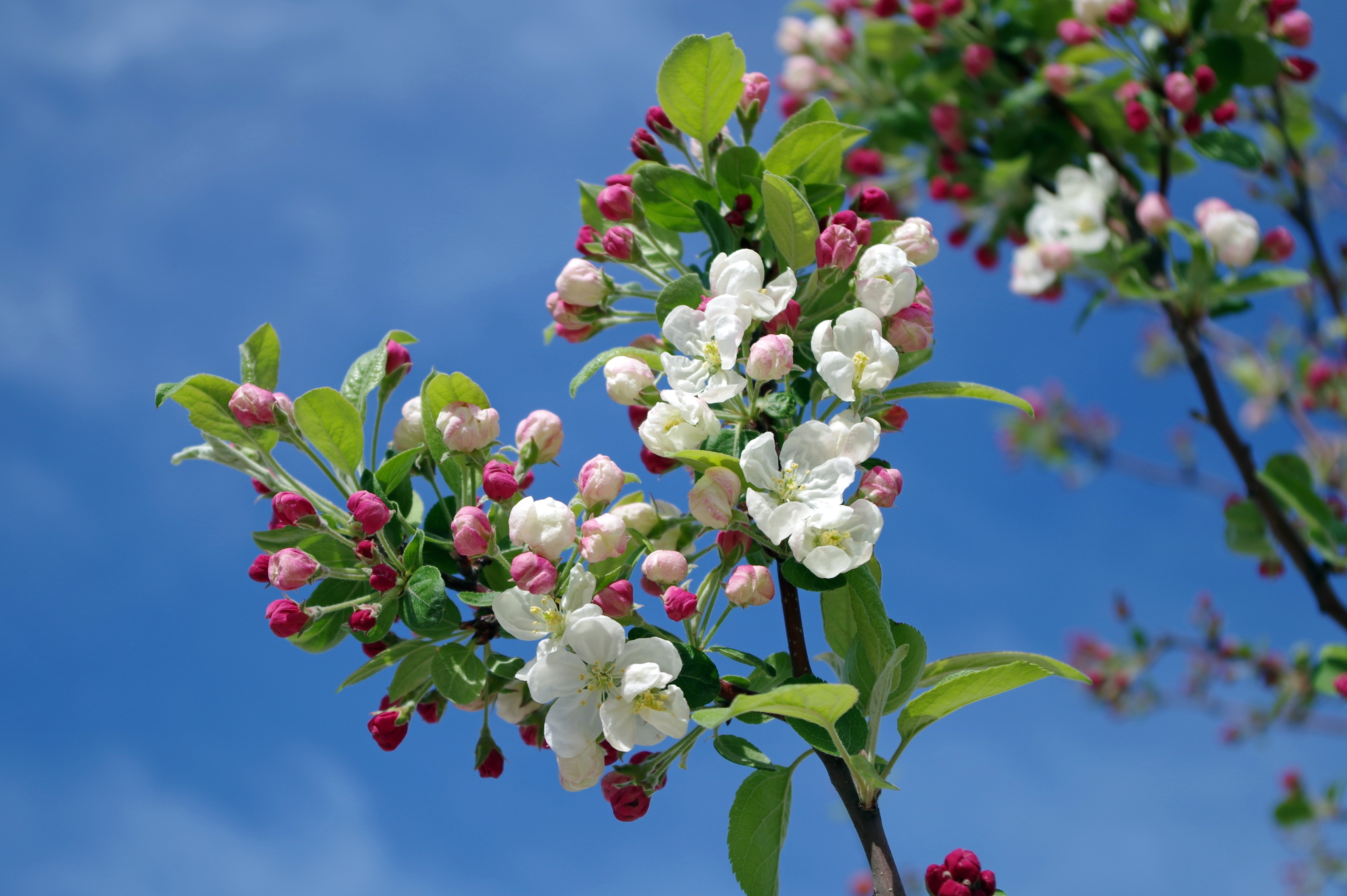 apple-blossom-tree-branch-spring-67286.jpeg (4906×3264)