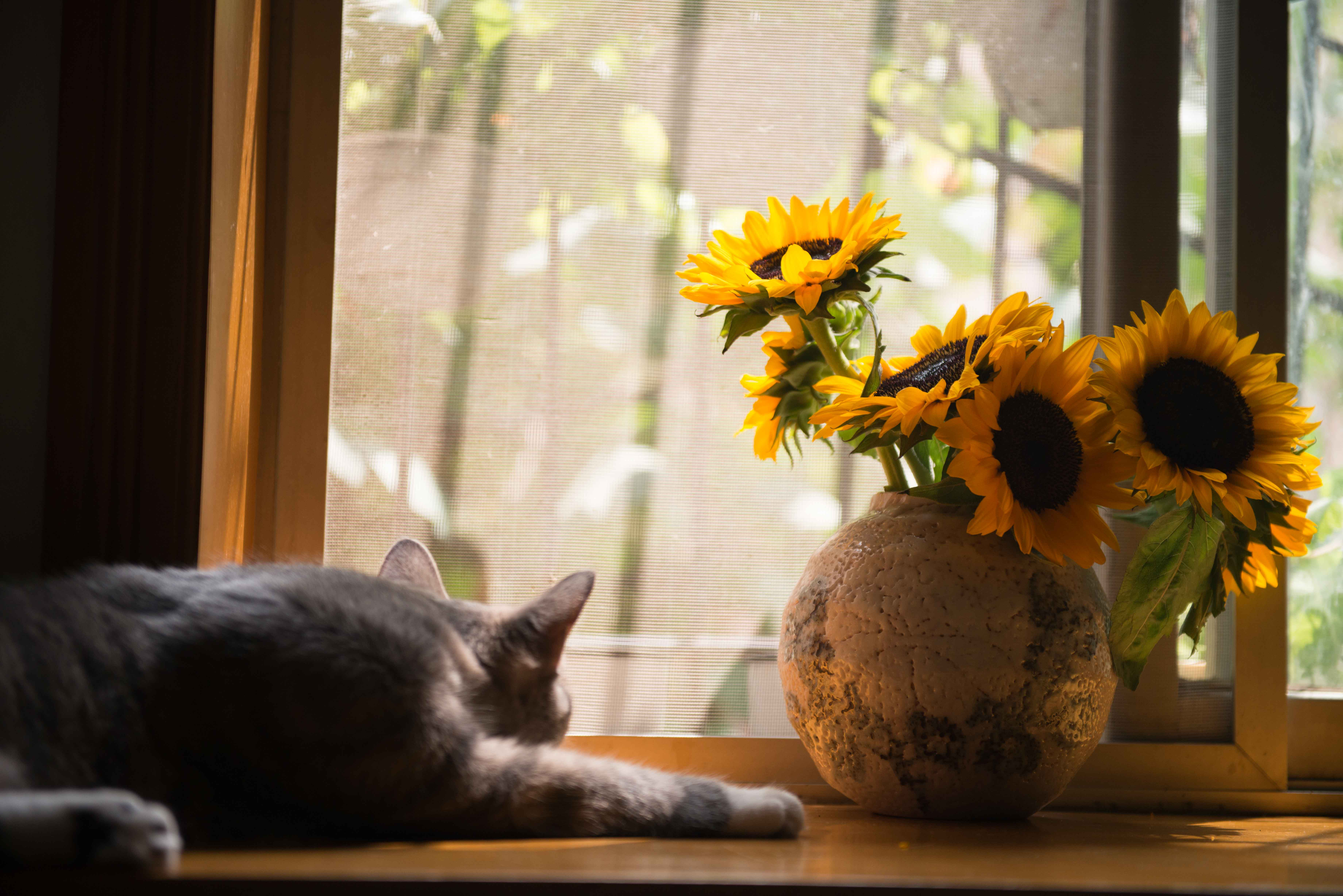Gray Cat Near Gray Vase With Sunflower 183 Free Stock Photo