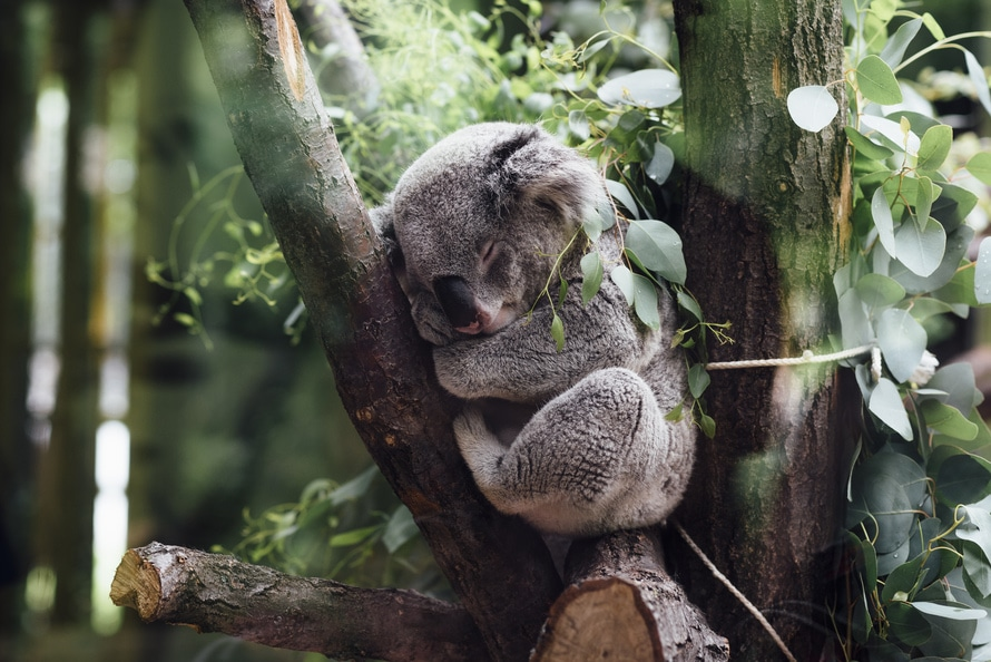 Gray Koala Between Brown Tree Barks