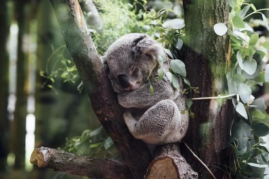 Gray Koala Between Brown Tree Barks