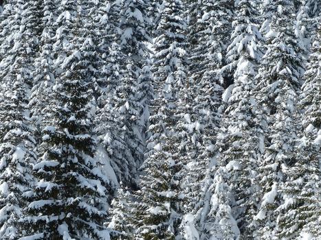 Snow on Pine Tree Leaves