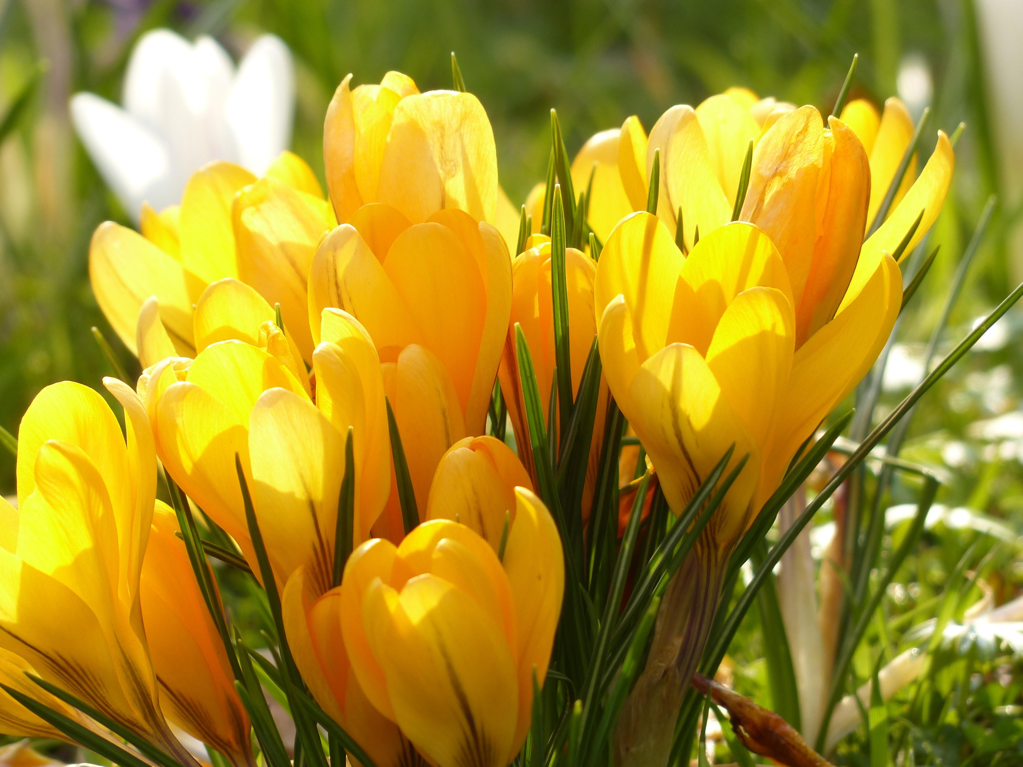 crocus-yellow-white-bloom-68540.jpeg (4000×3000)