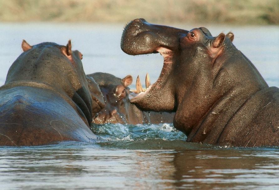 Black Hipopotamus