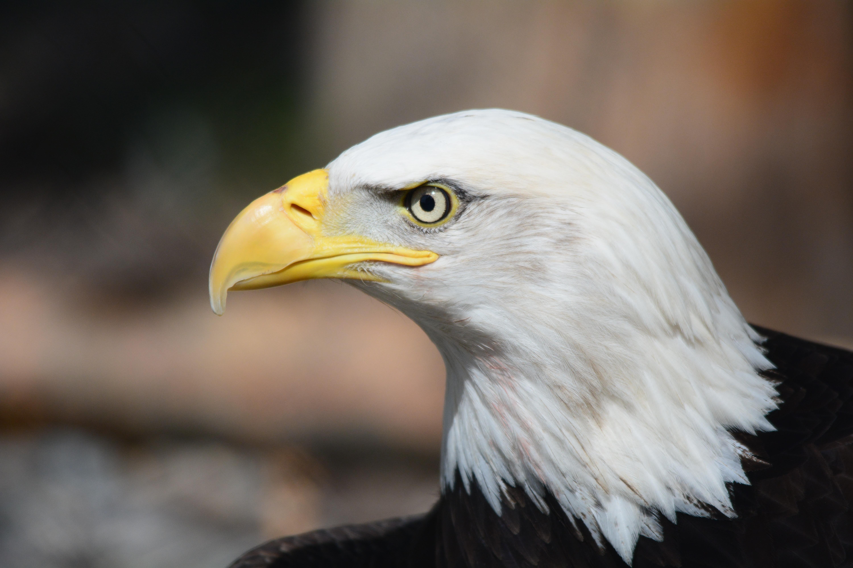 eagle images pexels free stock photos