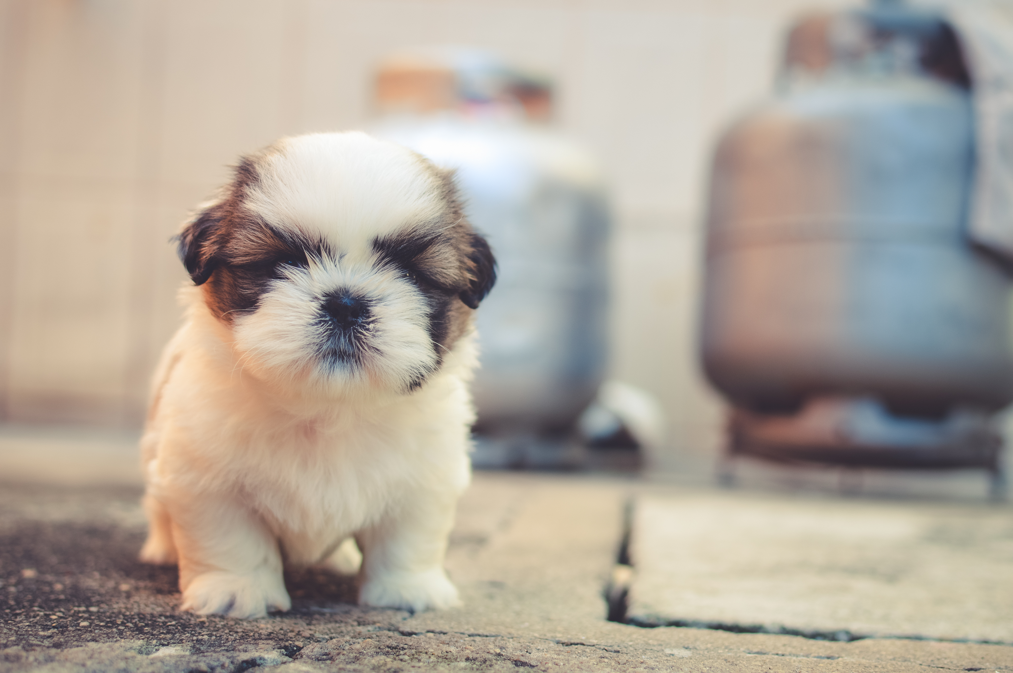 Free stock photos of puppy pexels white and brown long coated puppy macroshot photography voltagebd Choice Image