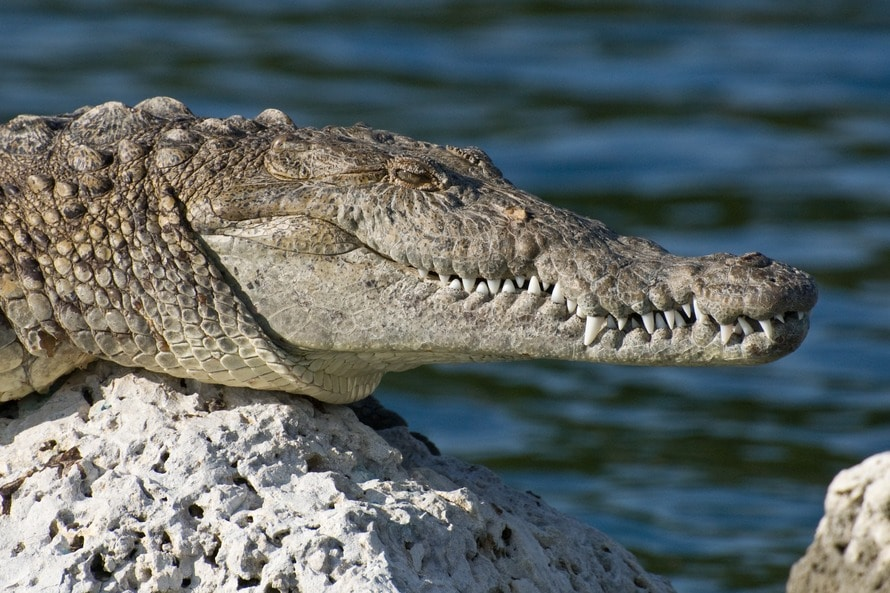 animal, close-up, Crocodile