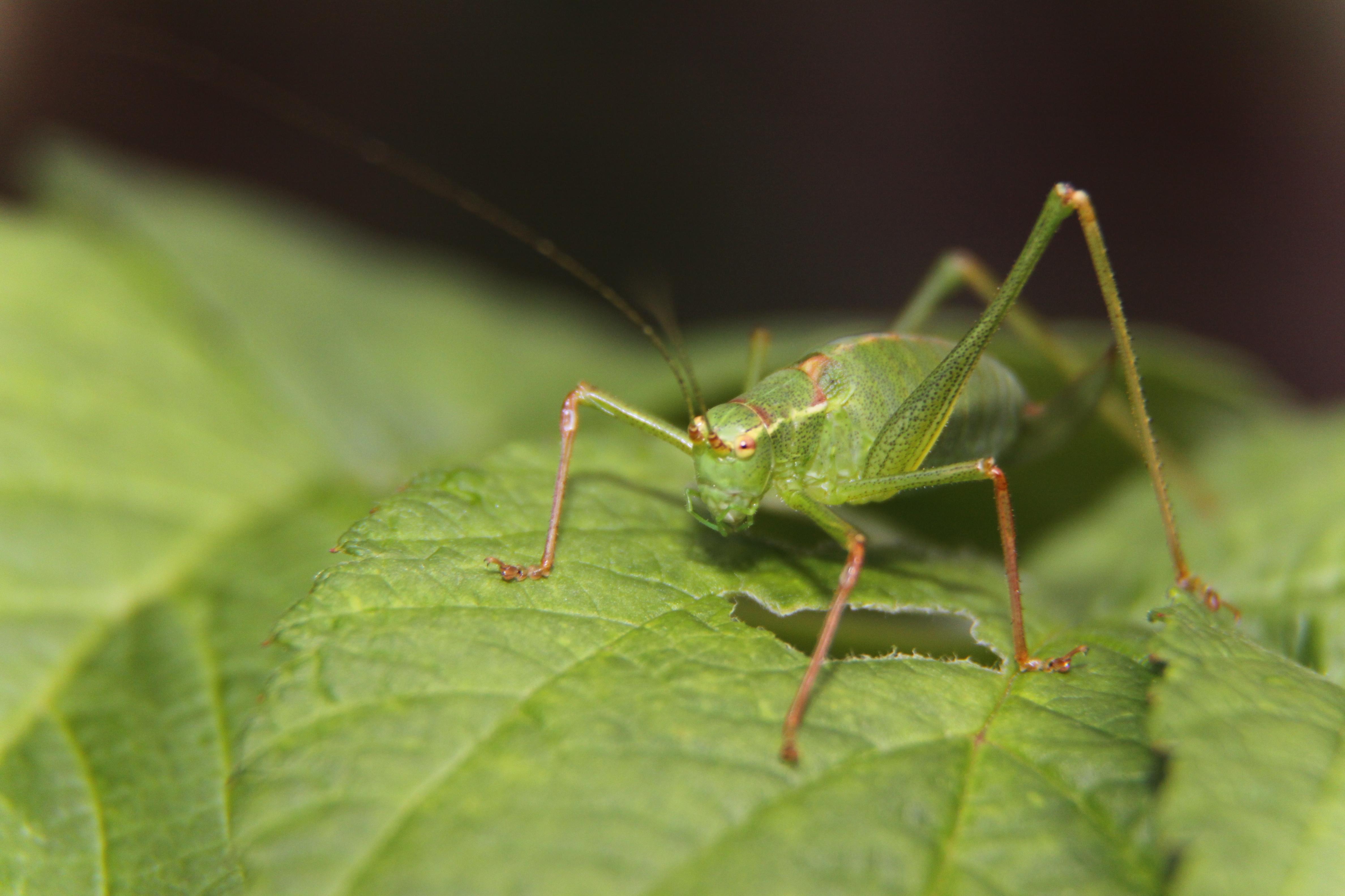 Green Grasshopper on Green Leaf · Free Stock Photo