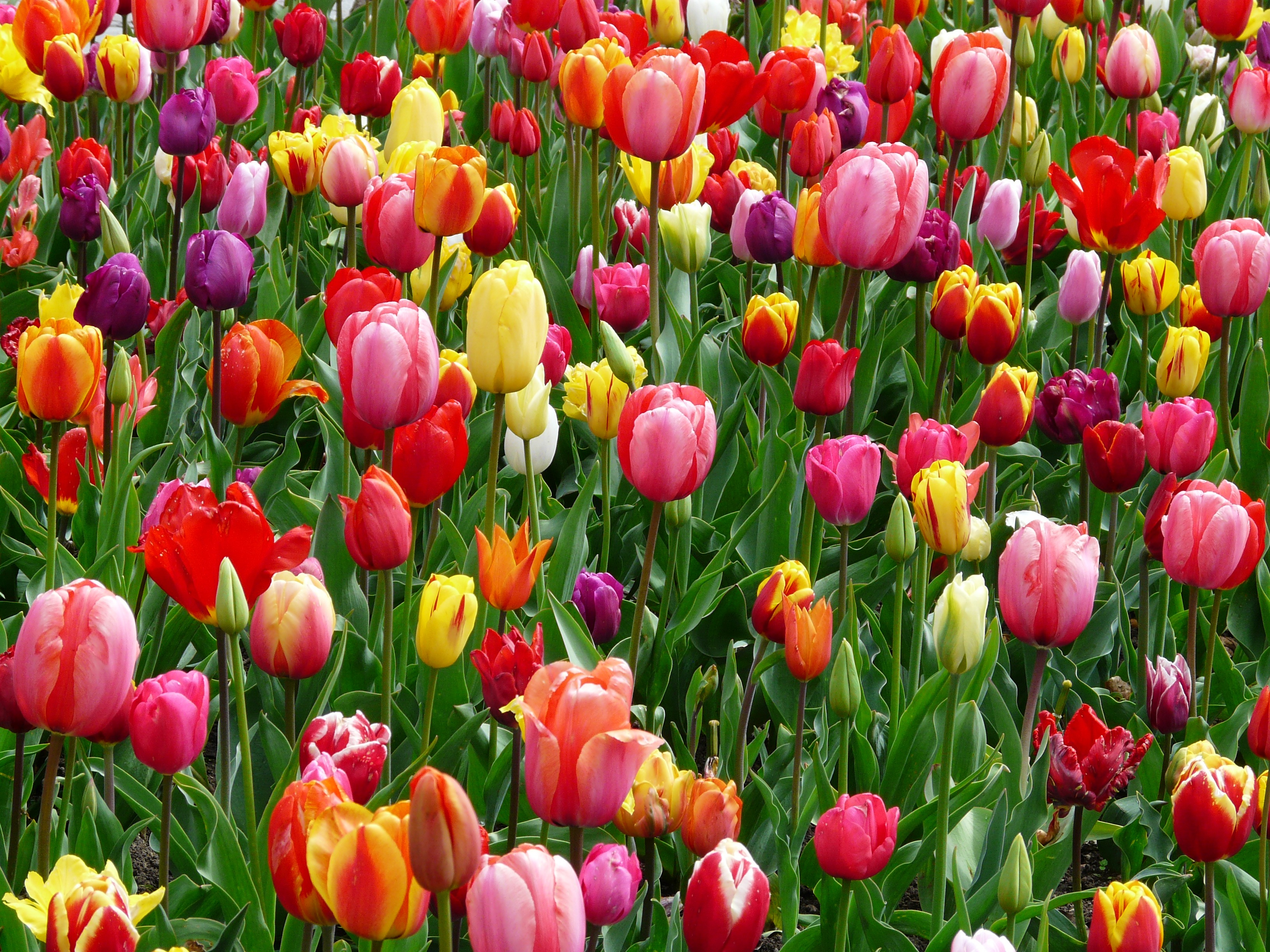 tulips-bed-colorful-color-69776.jpeg (3264×2448)