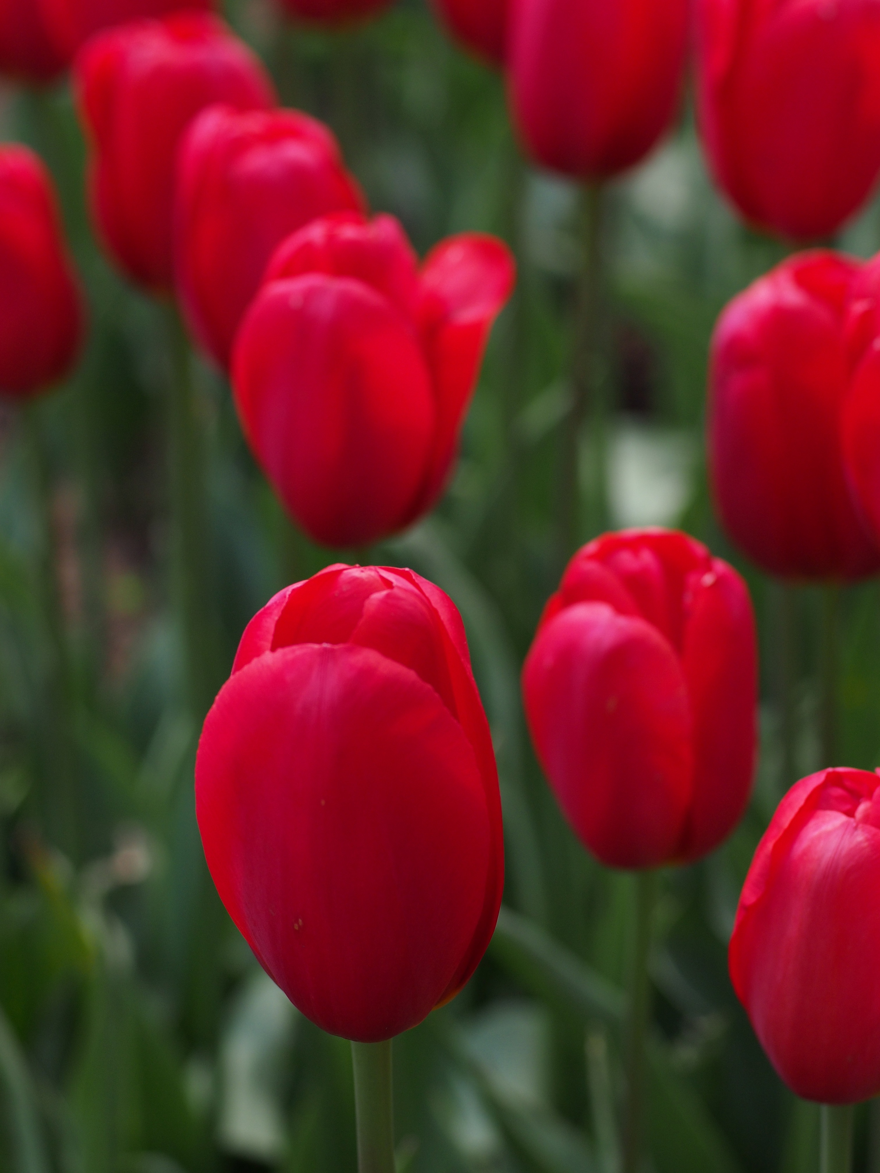 red tulips free stock photo