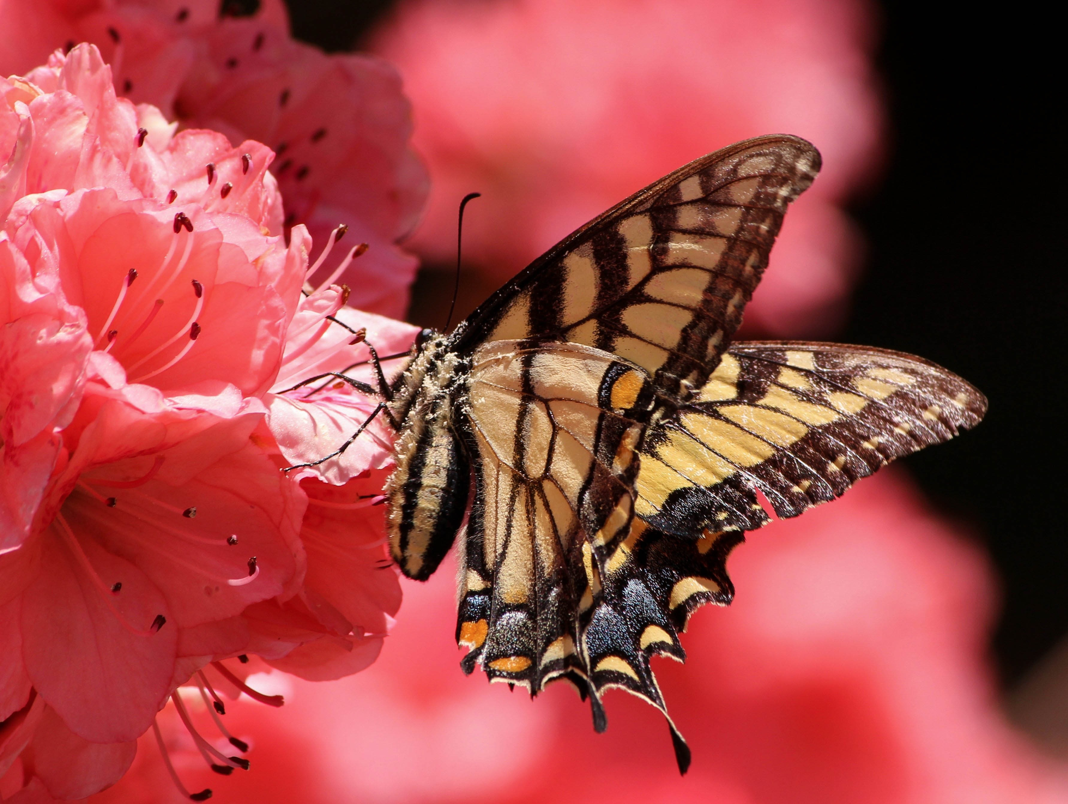 butterfly-flying-insect-old-world-swallowtail-pollen-70352.jpeg (3565×2684)