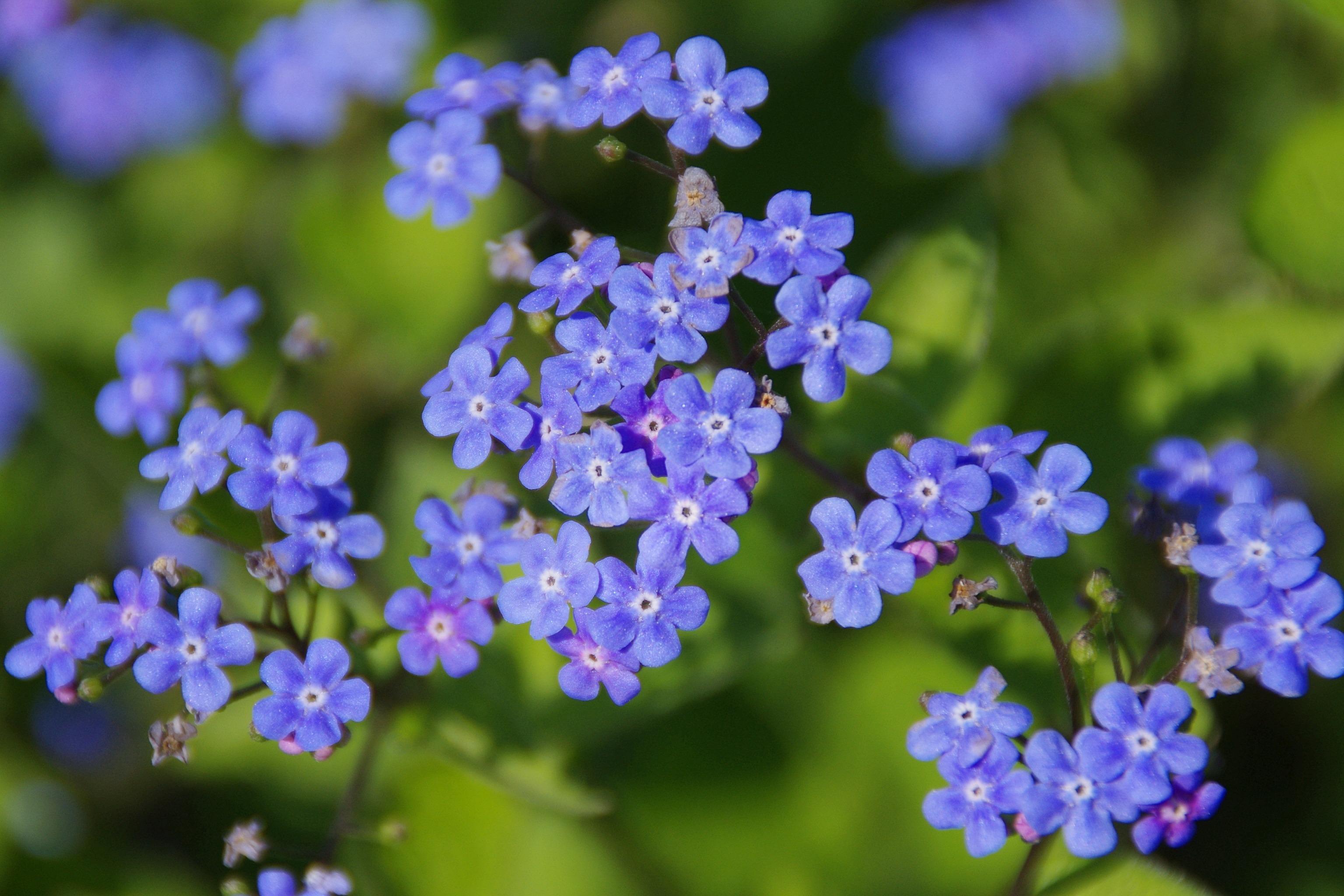 Blue Blossom Flower Plant 59