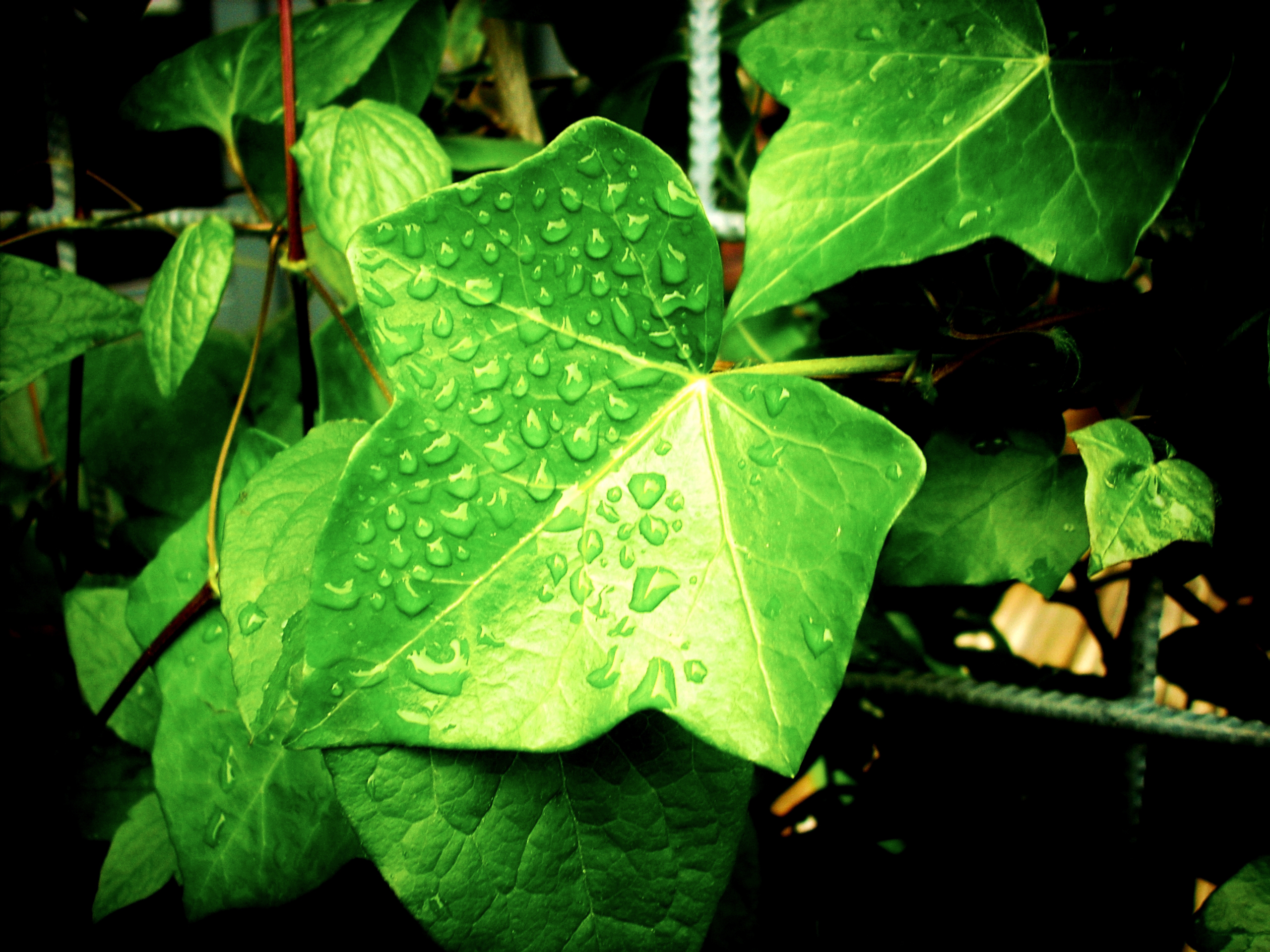 free stock photo of drops of water ivy leaves
