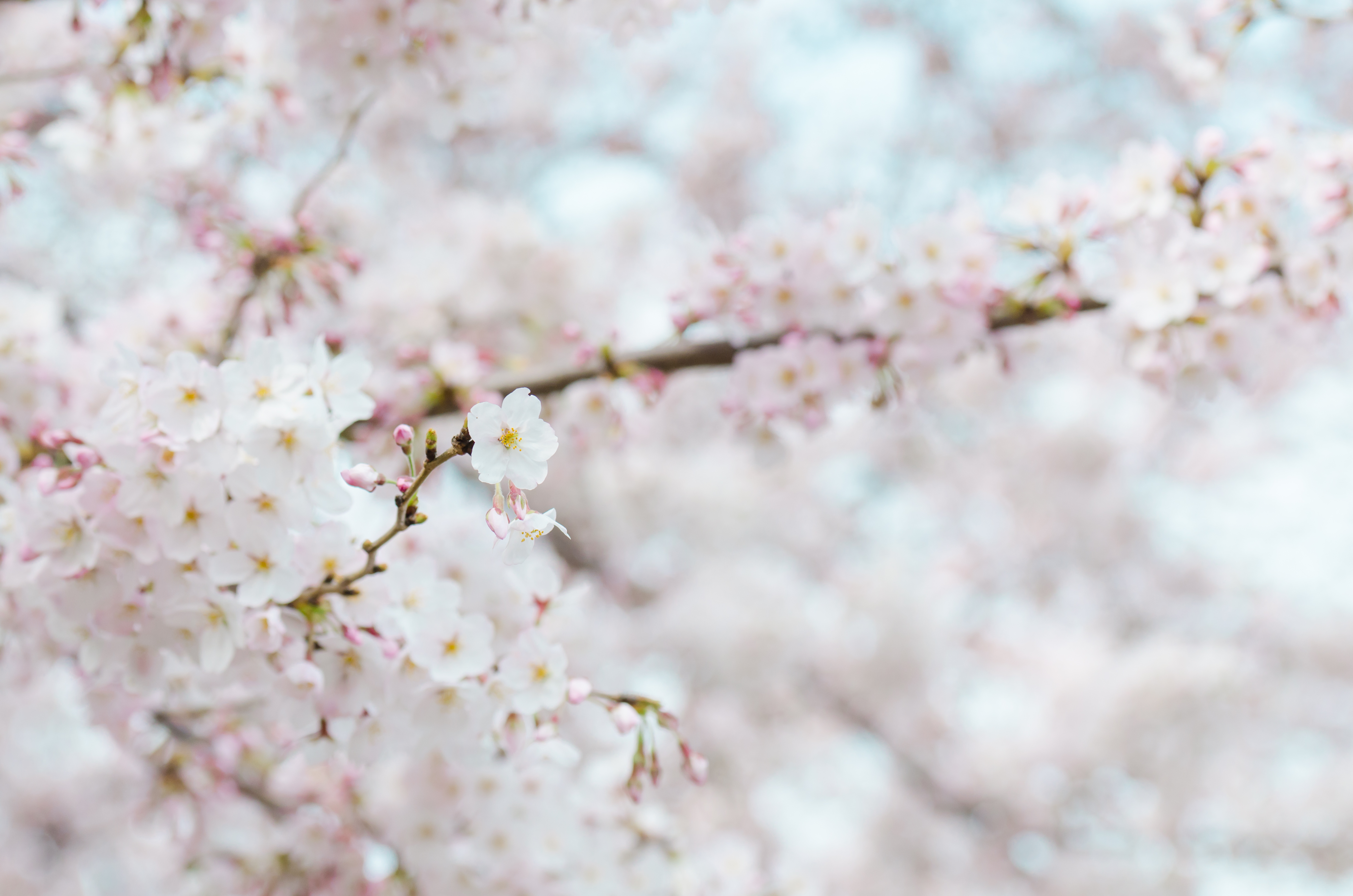 Cherry Blossom Tree Pink Flowers Free Stock Photo Of Nature, Flowers,  Winter, Spring