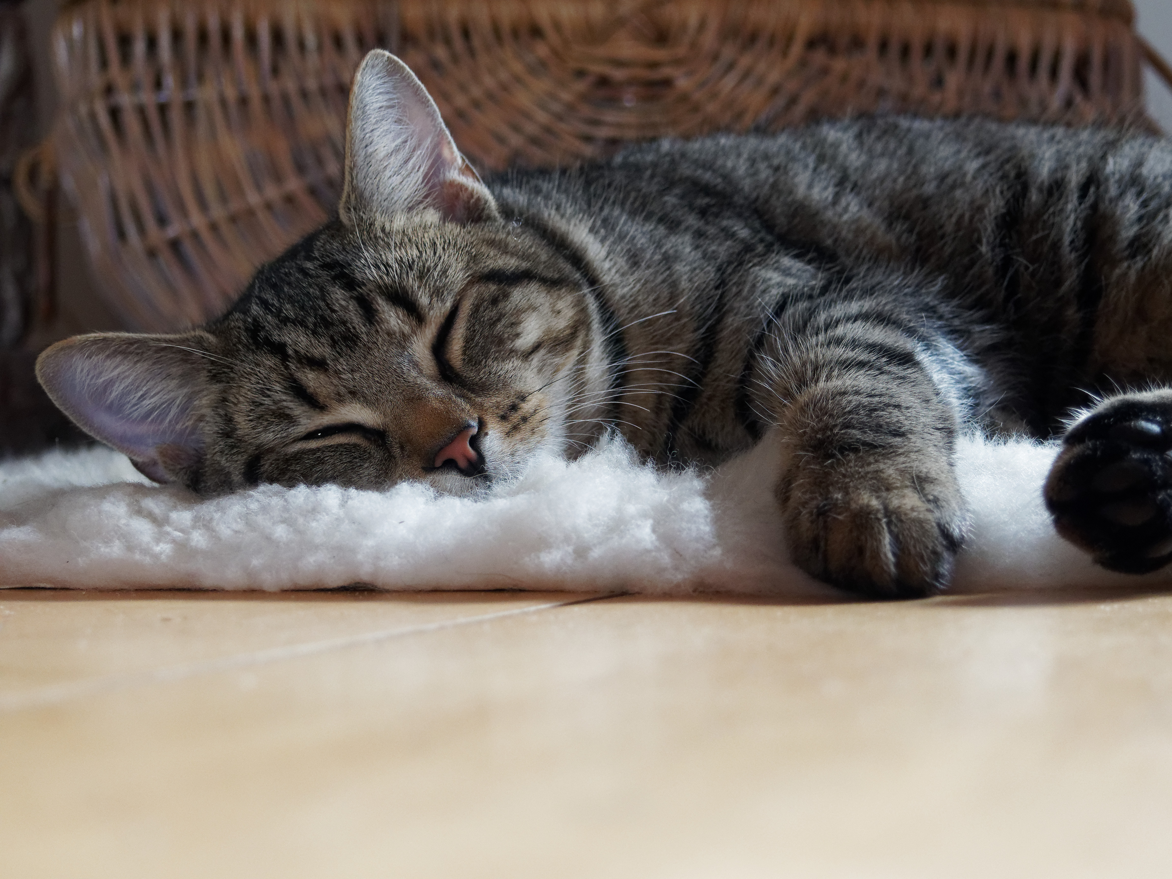 Brown Tabby Cat Lying On Shag Rug 183 Free Stock Photo