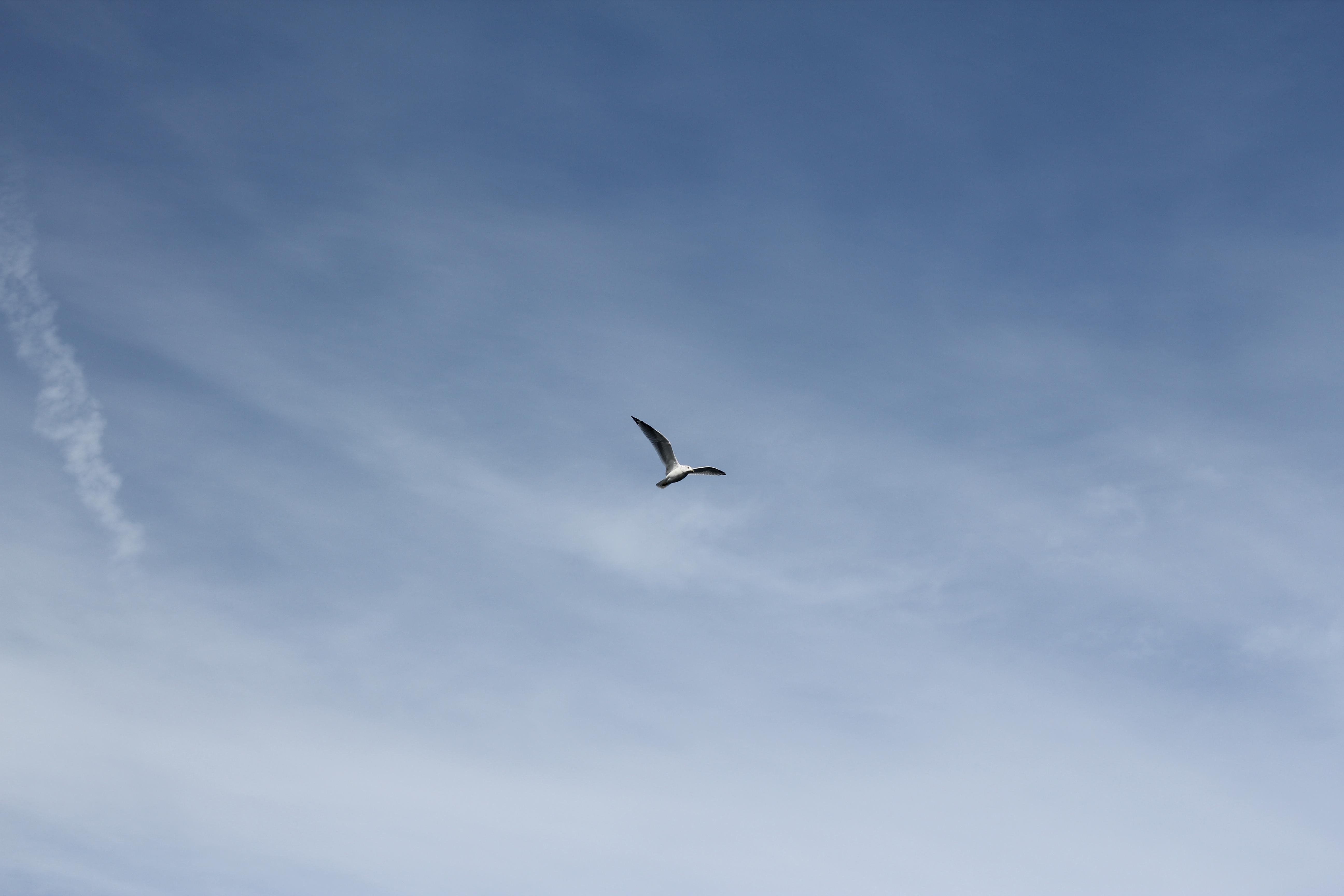 Sky Bird Flying Seagull 7262