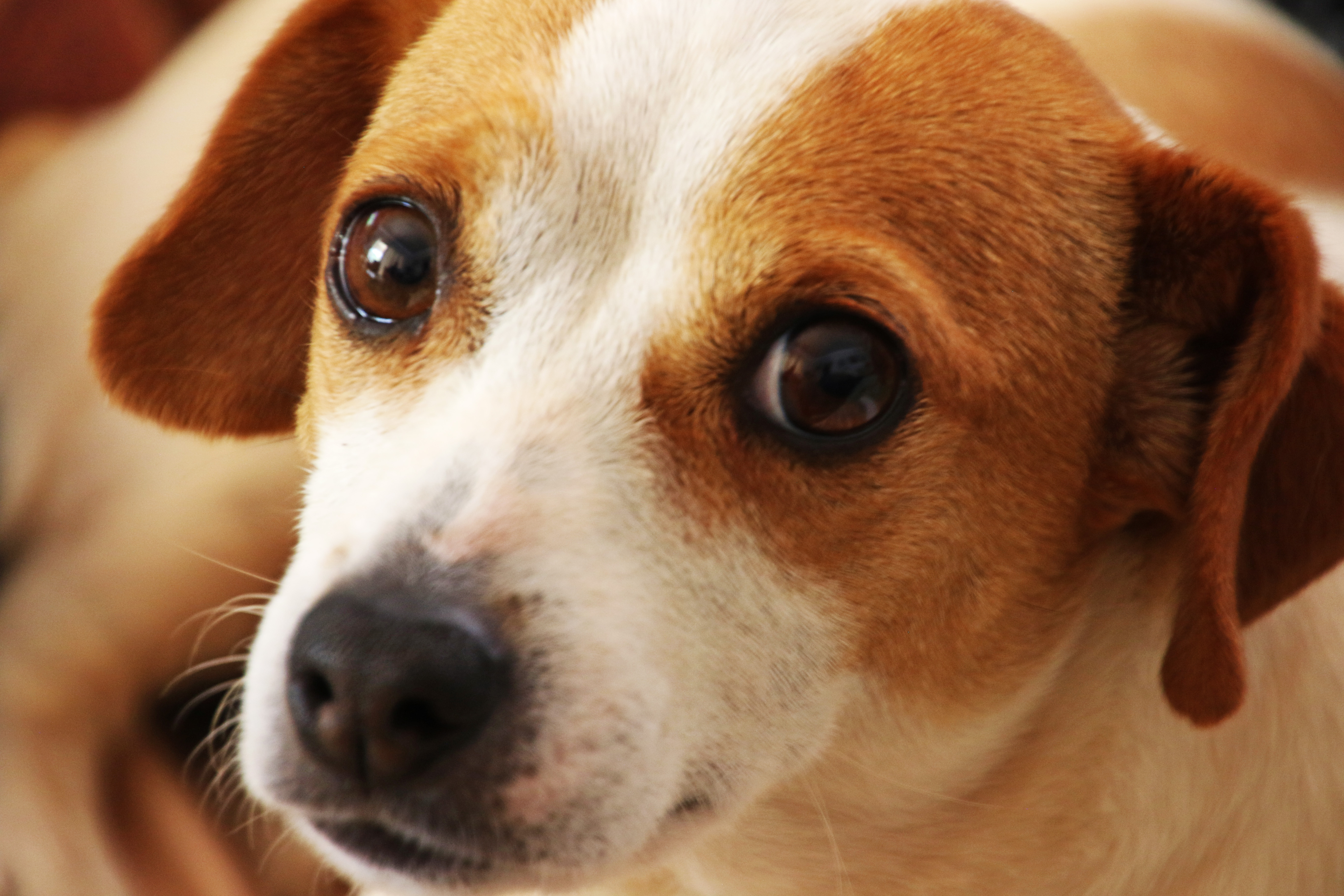 Brown And White Dog Close Up Photo ...