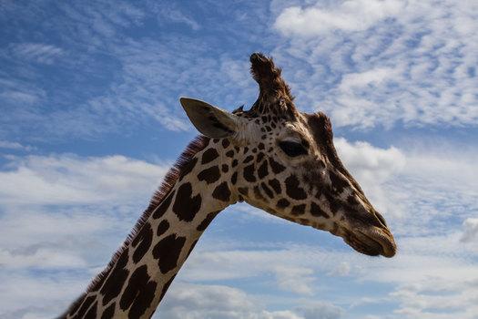 Free stock photo of animal, africa, zoo, giraffe