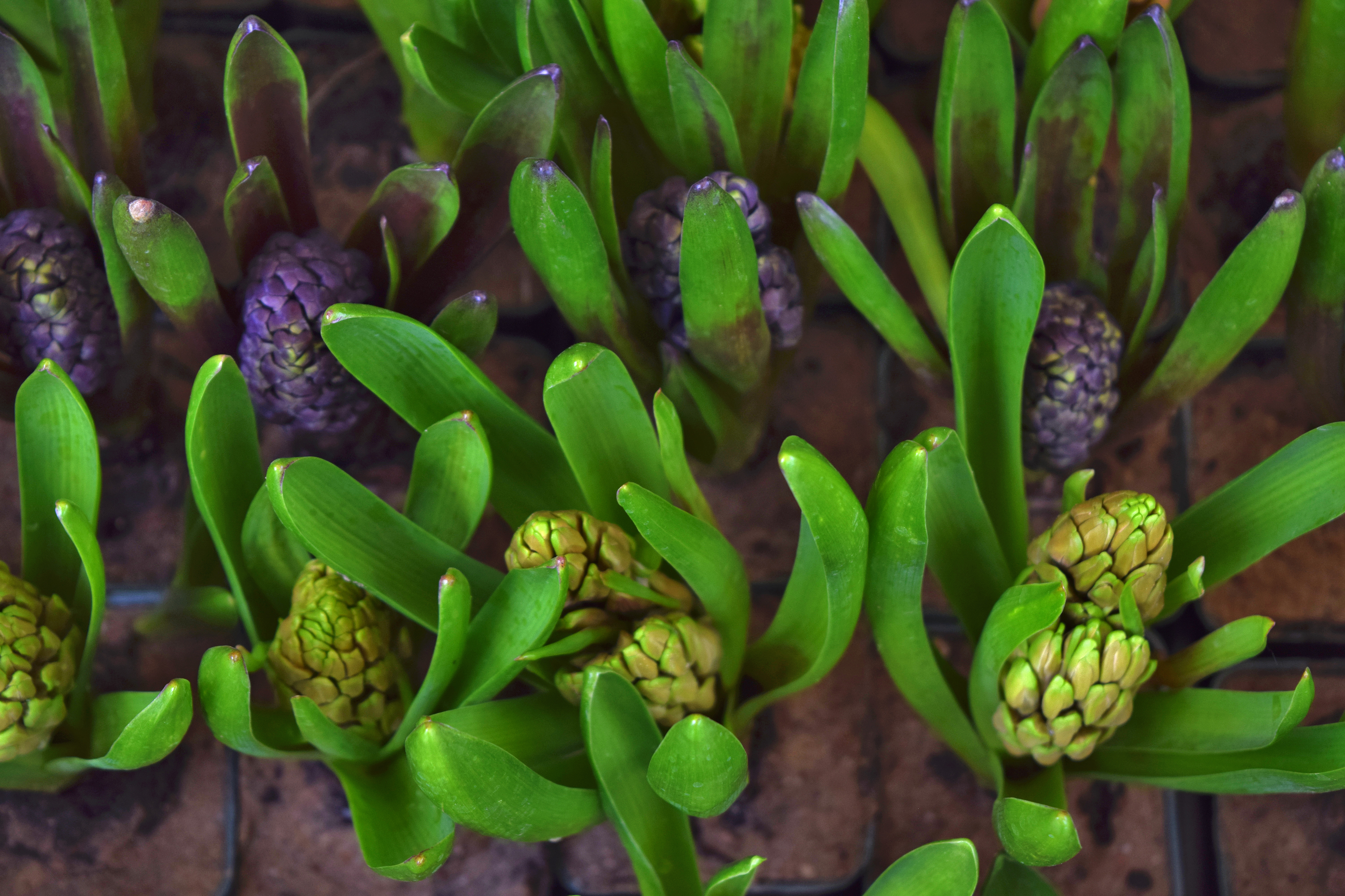 Green succulent plant in macro photography free stock photo free download dhlflorist Images