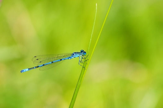 Blue and Black Dragonfly