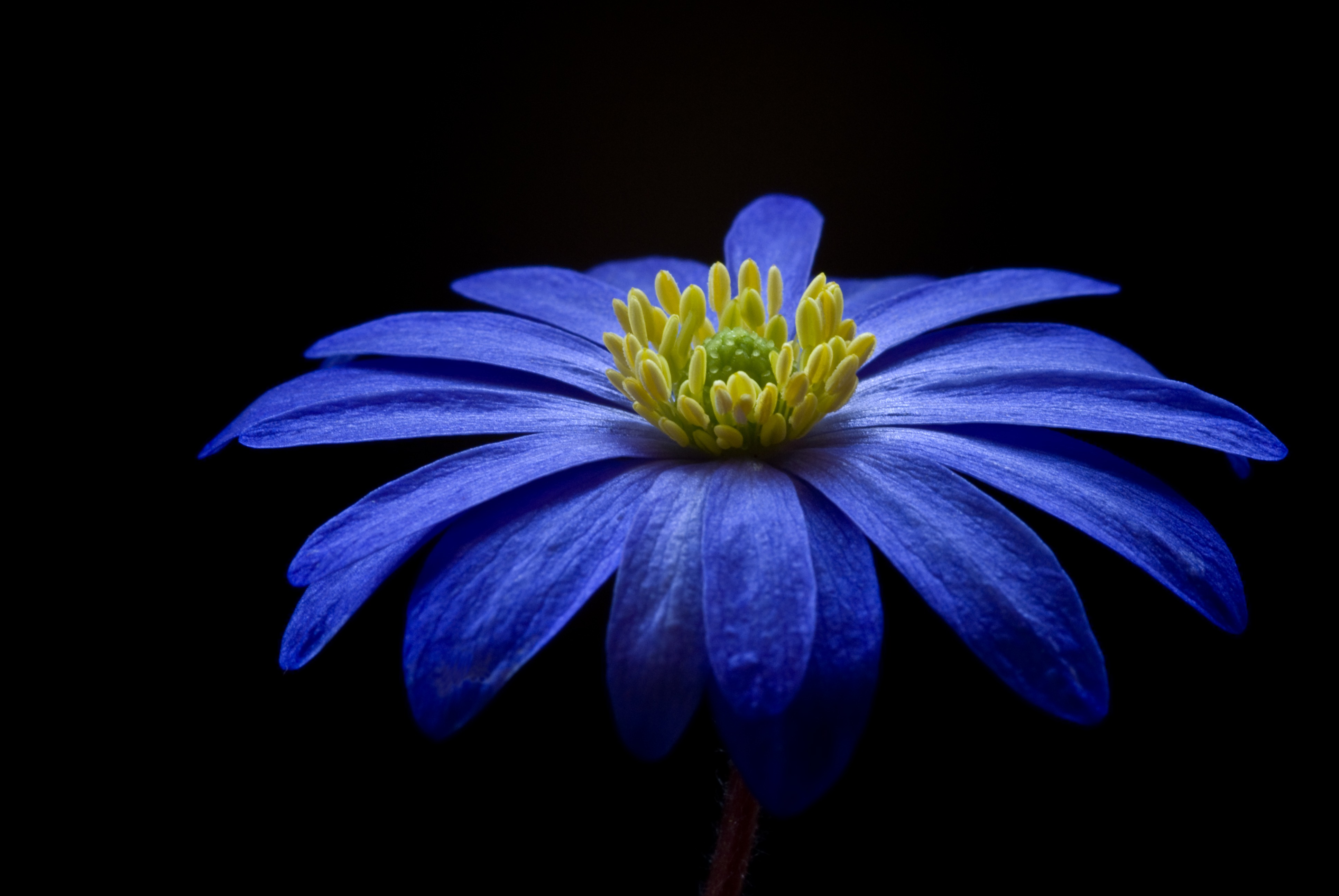 Blue yellow petaled flower free stock photo - Plants with blue flowers a splash of colors in the garden ...