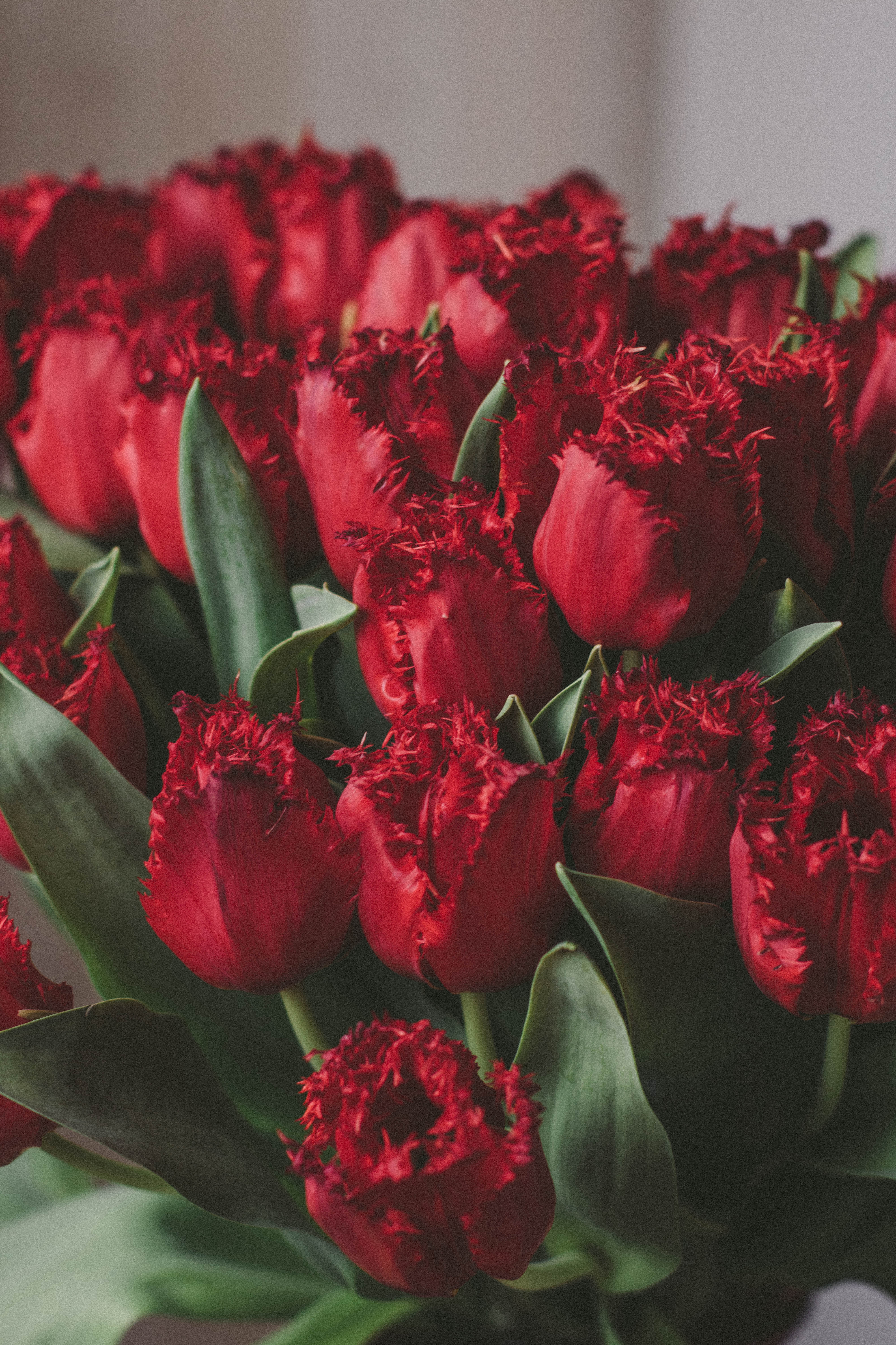 Artificial Red Tulips 183 Free Stock Photo