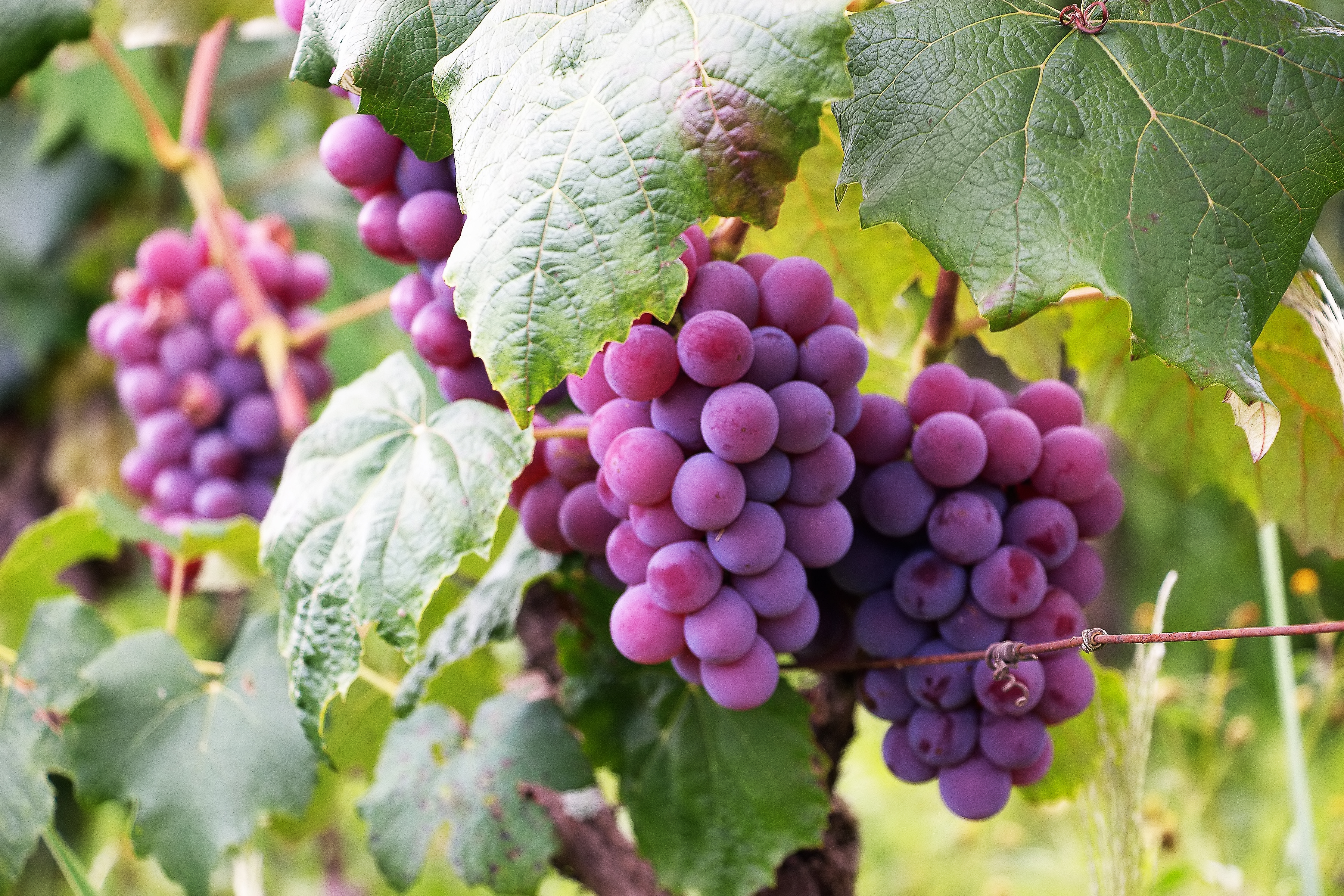 Several bunch of grapes free stock photo - Table grapes vs wine grapes ...