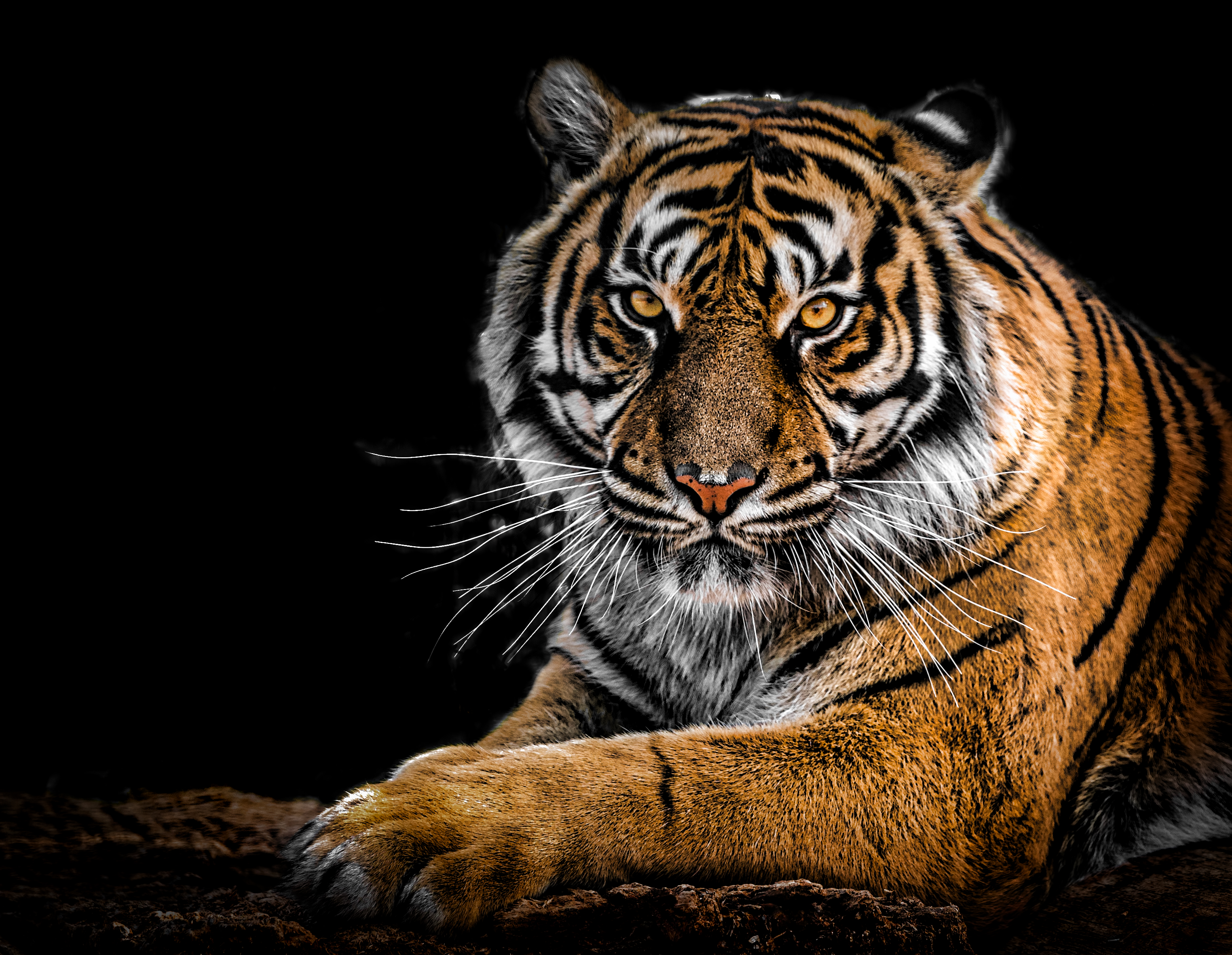close up photography of tiger free stock photo