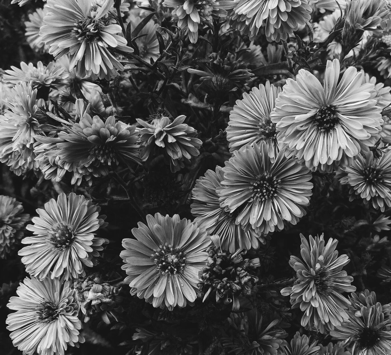 Free stock photo of art, black-and-white, bloom