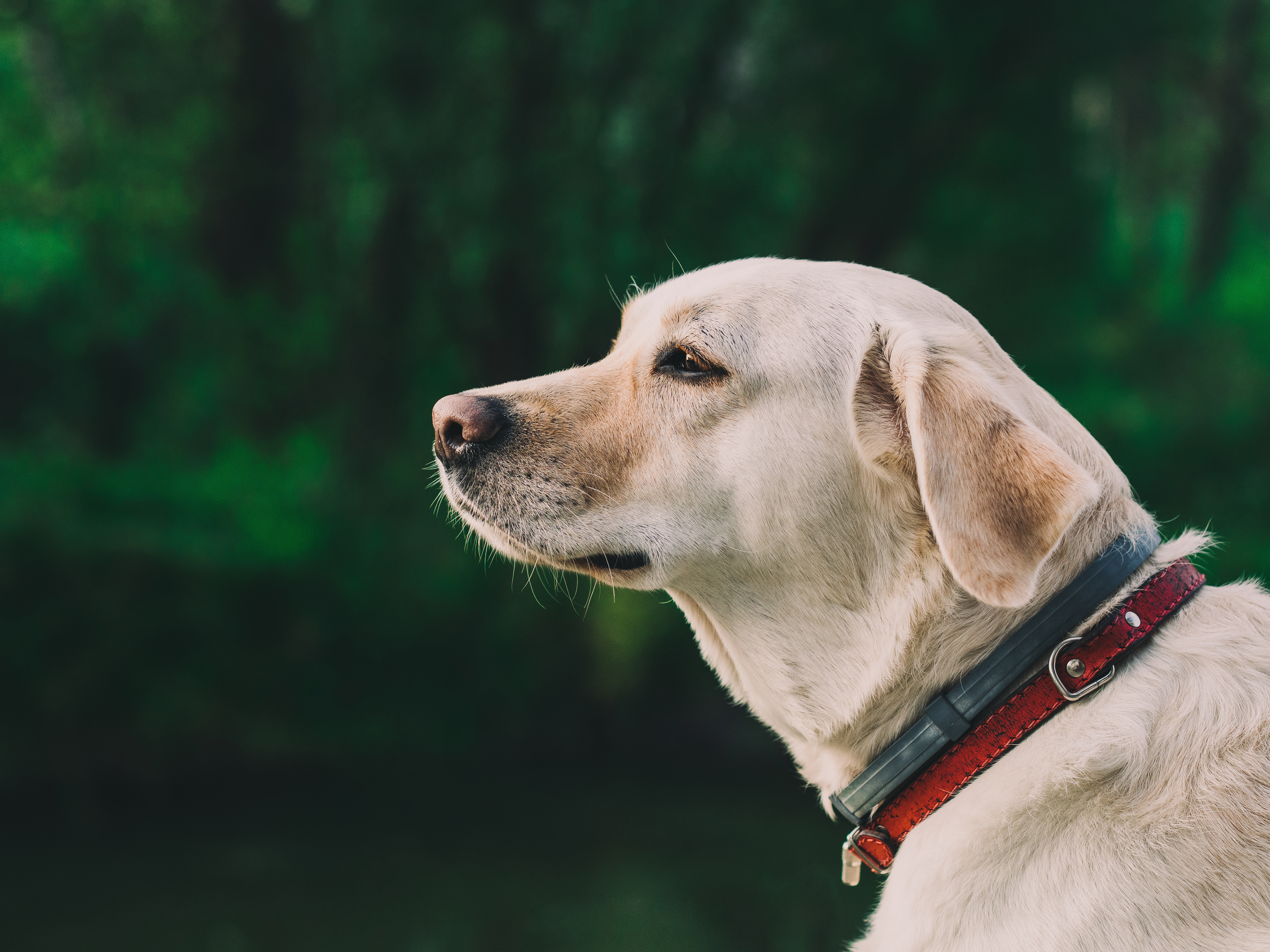 free stock photo of animal collar dog