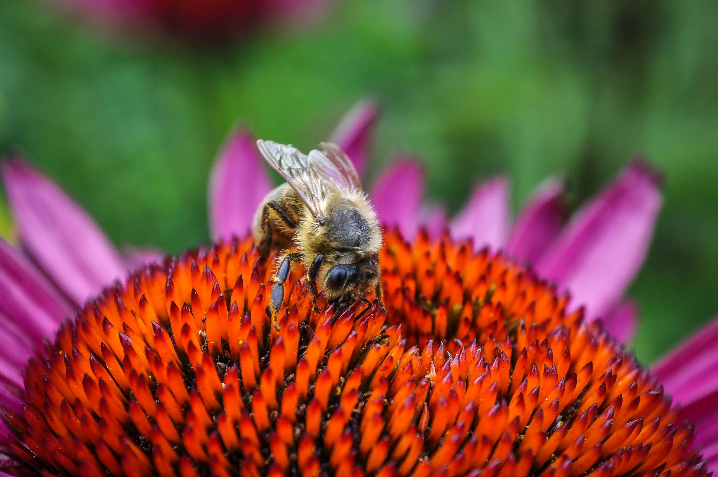 Bildergebnis für Bienen, kostenlosen bilder