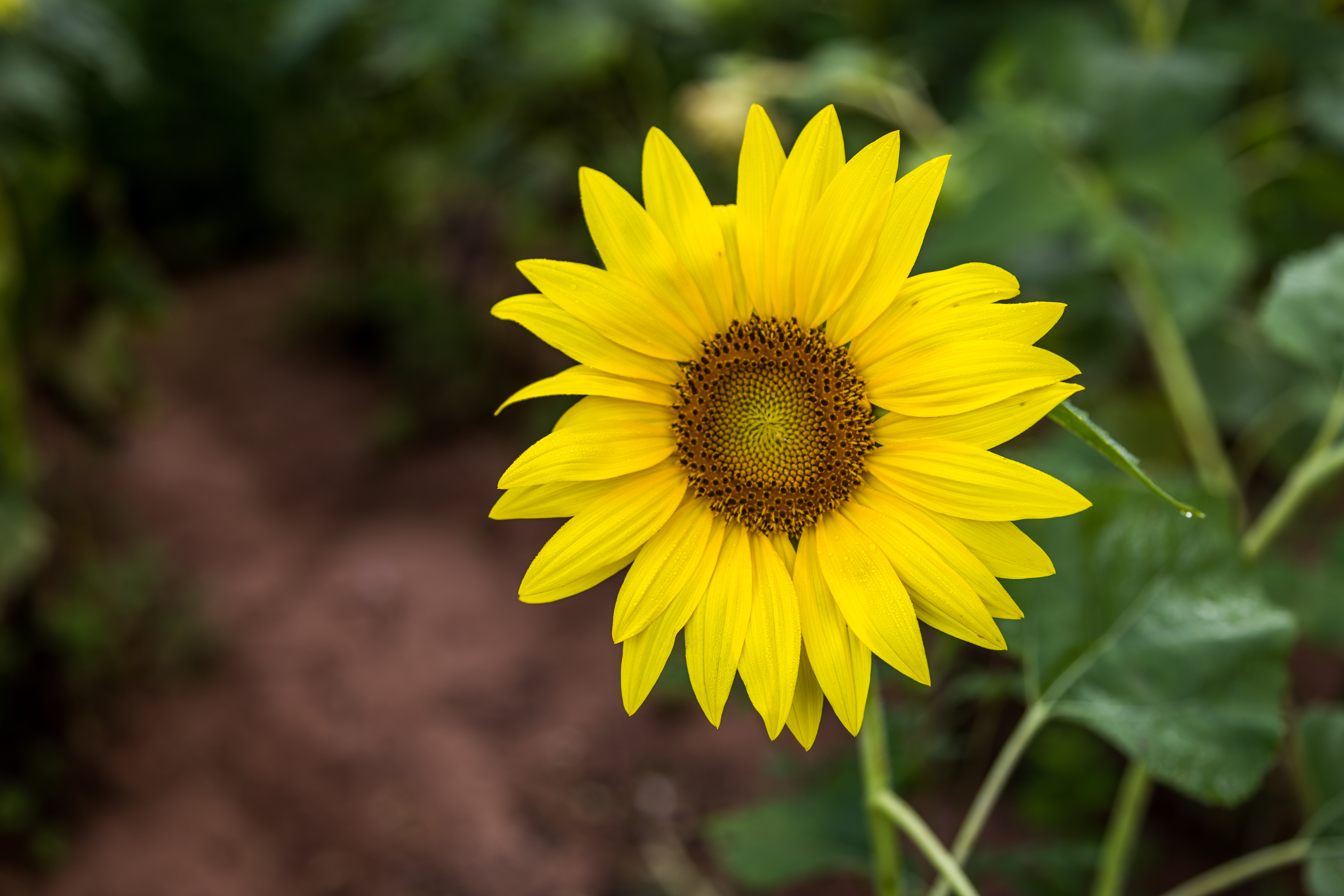 Sunflowers and Nudists  Yellow Sunflower