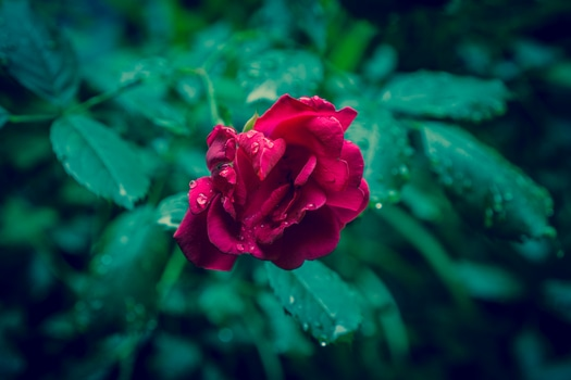 Free stock photo of rain, raindrops, flower, rose