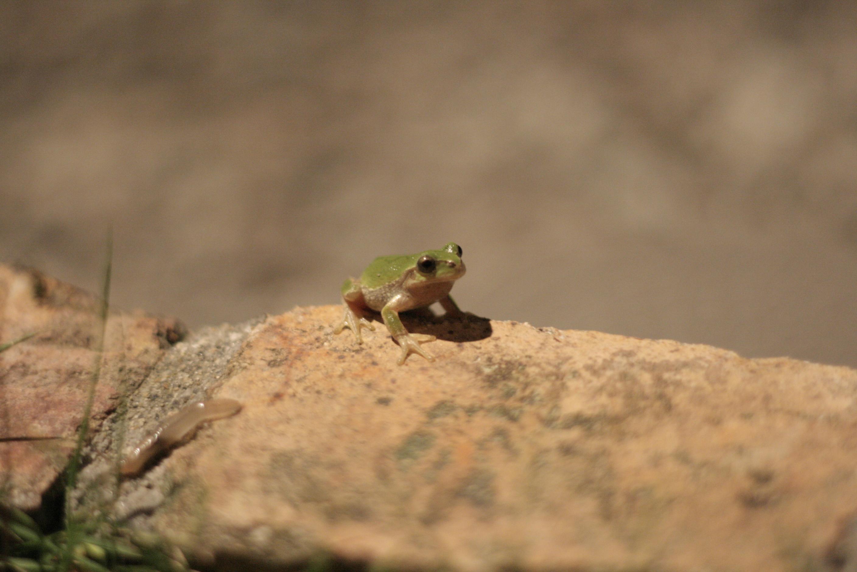 free stock photo of animal frog nature