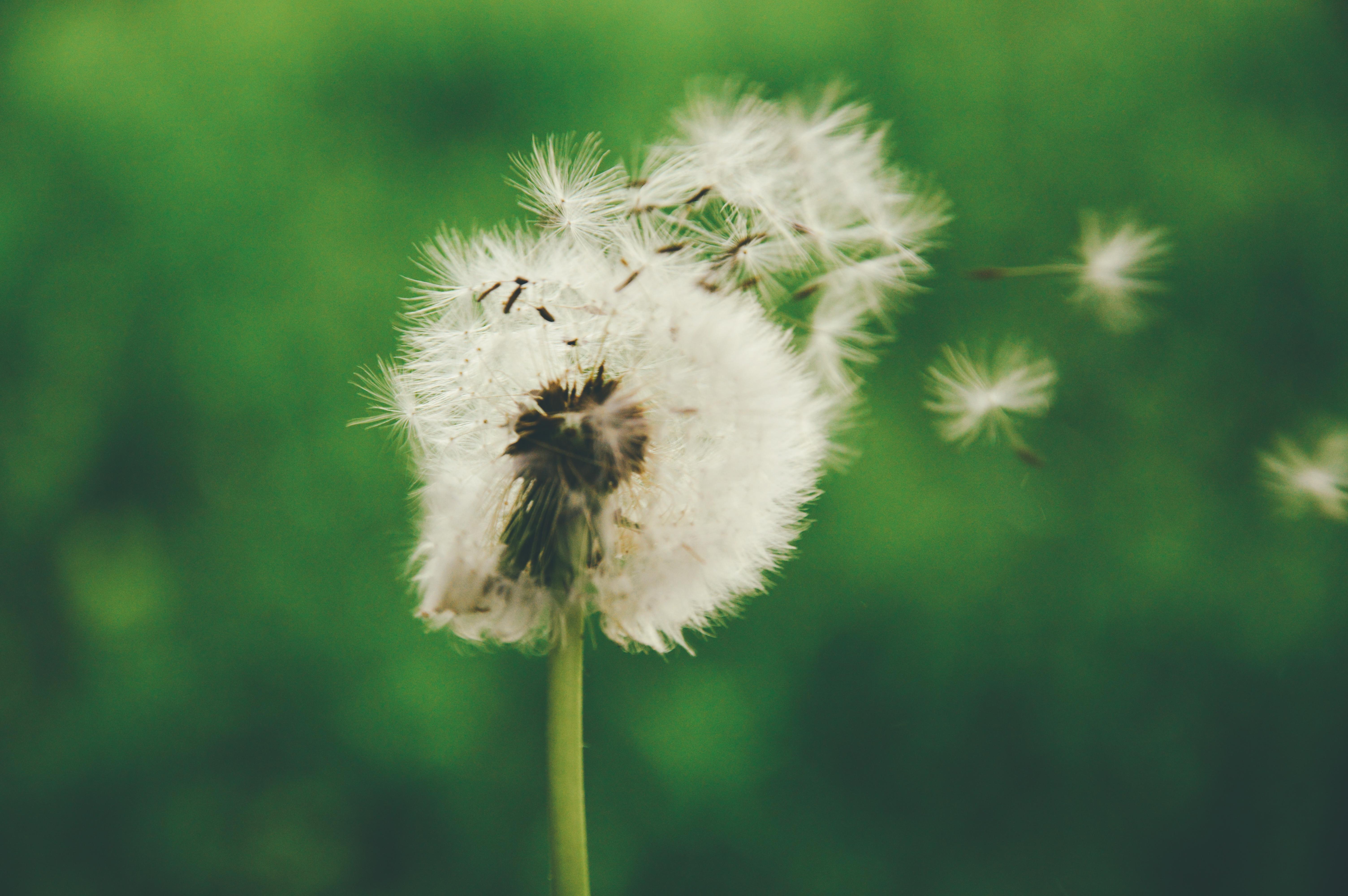 Free stock photos of dandelion · Pexels