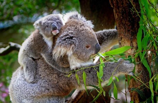 Grey and White Koala Bear