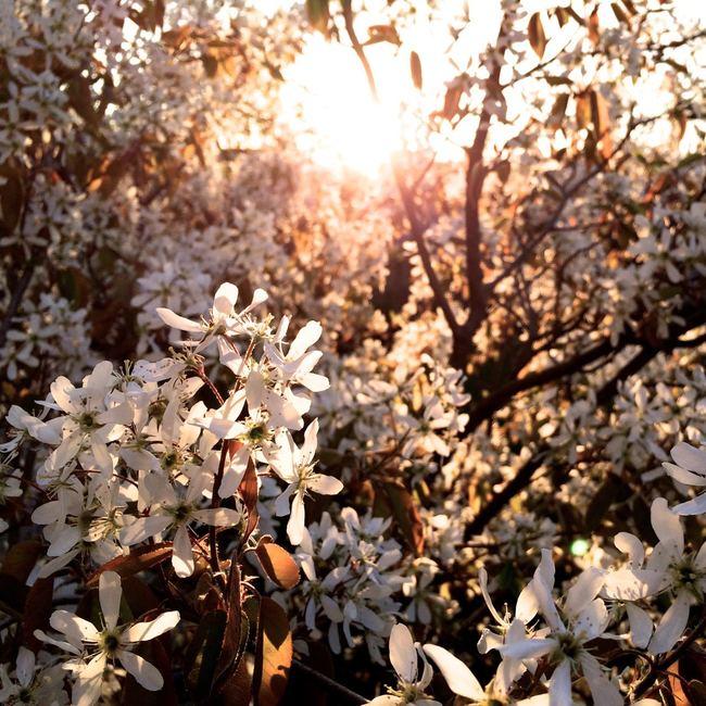 sunshine, spring, tree, blooms