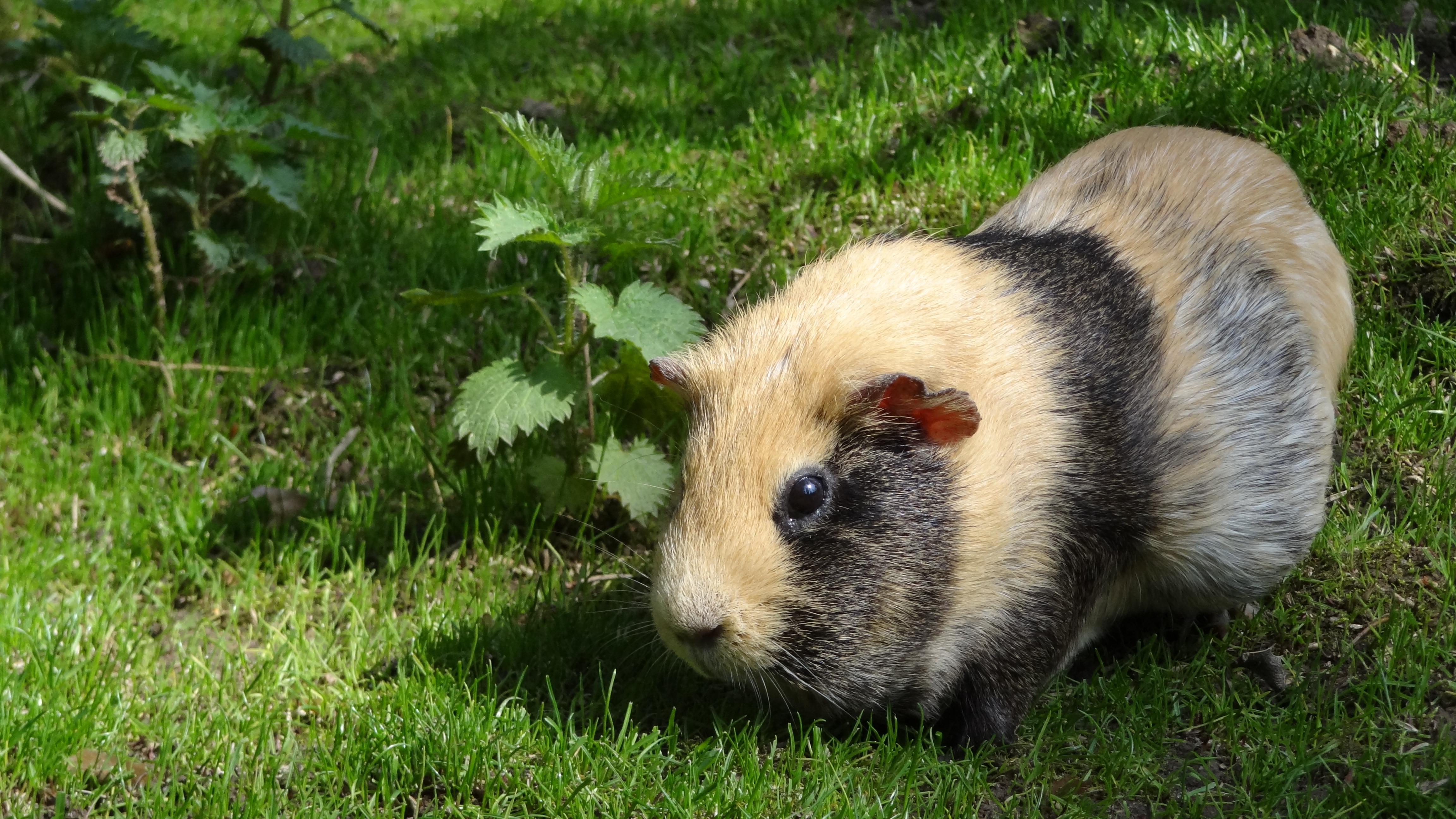 Free stock photo of animal cute guinea pig for Free guinea pig stuff