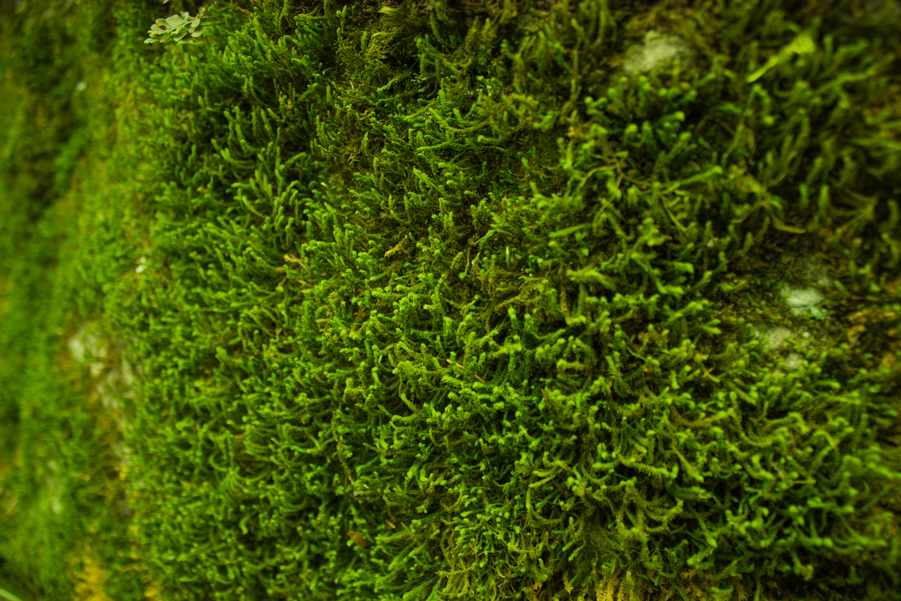 Free stock photo of closeup green moss for Where to buy photography