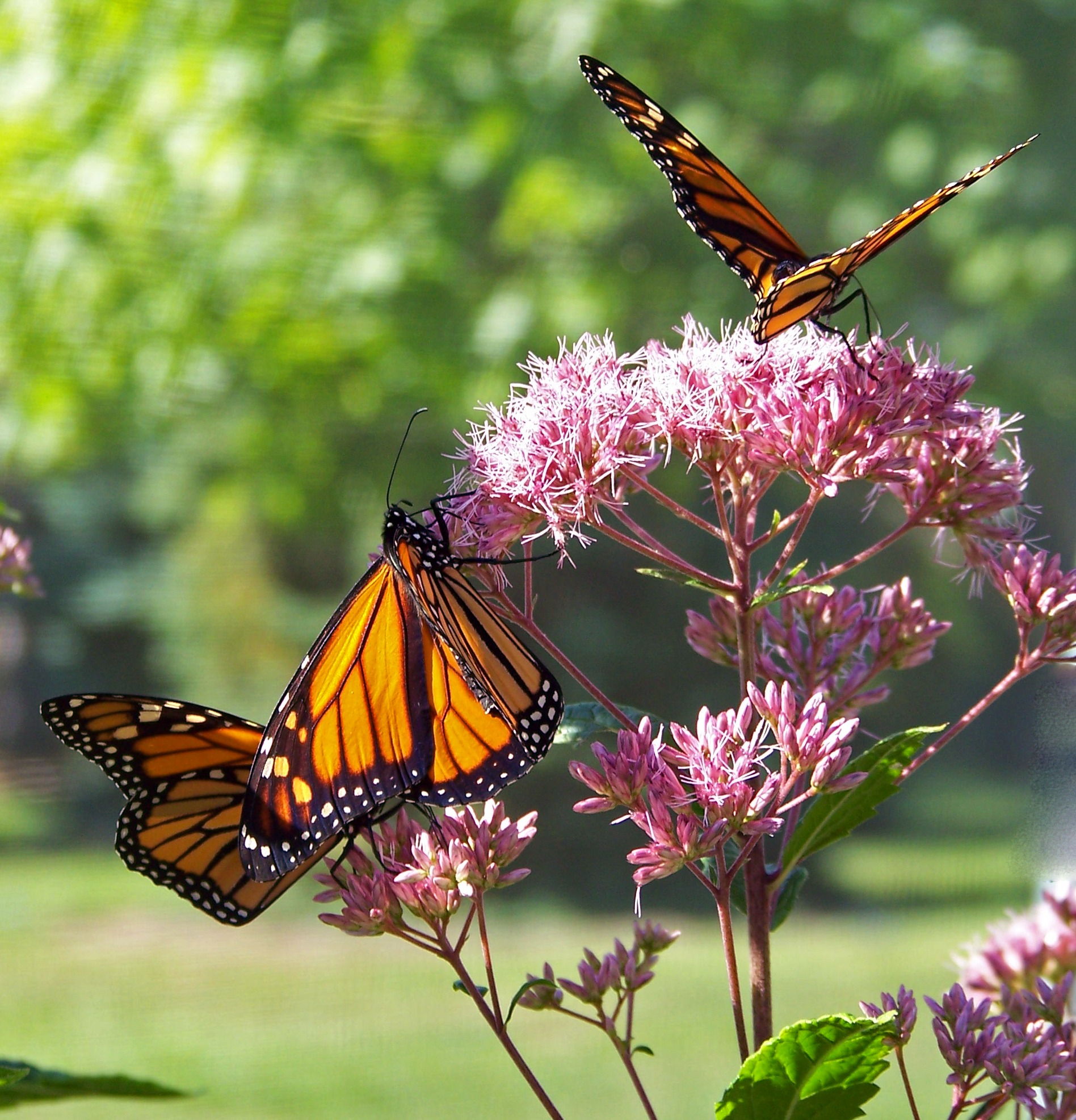 monarch butterflies on pink petal flowers during daytime free