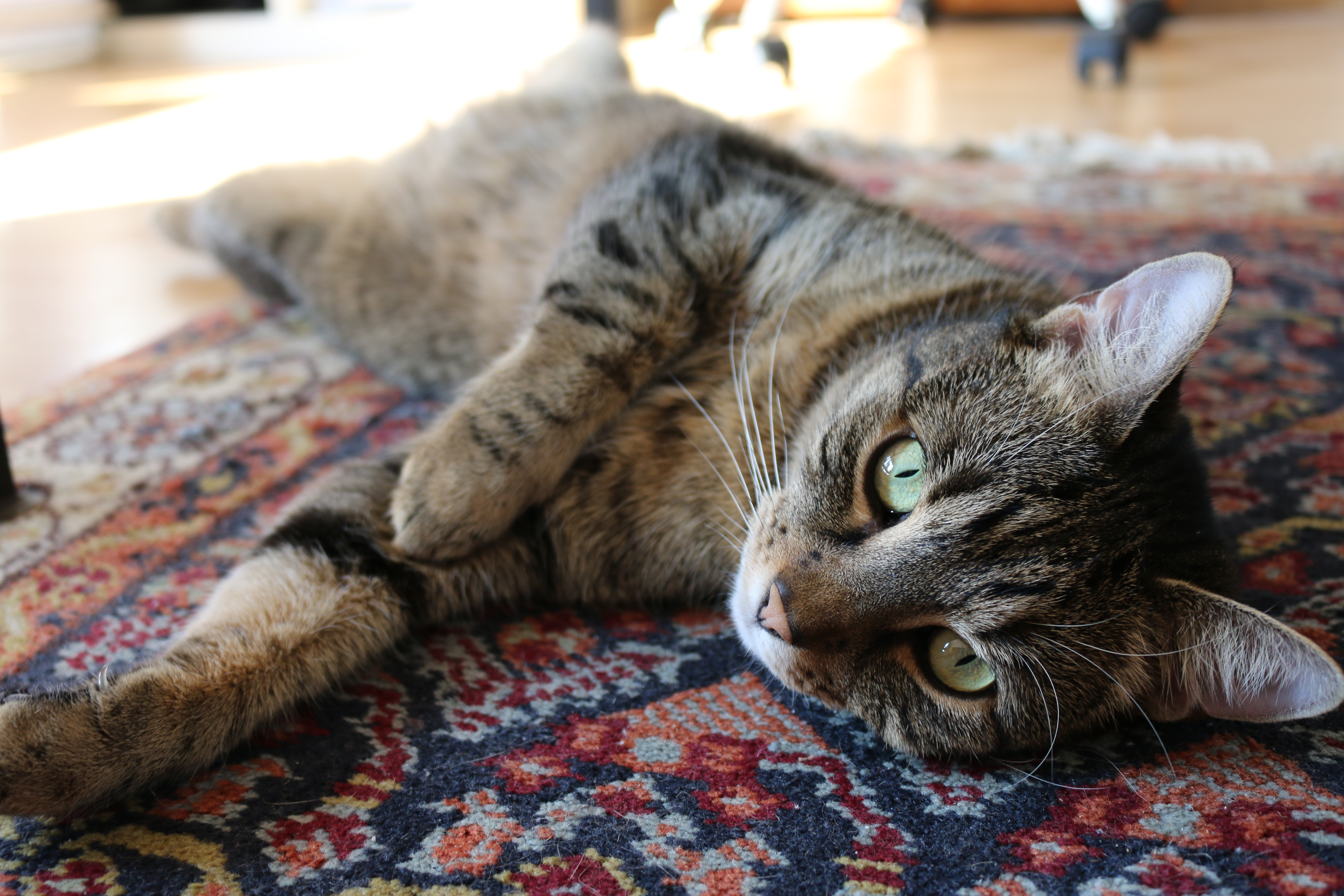 Brown Tabby Cat On Red And Blue Floral Carpet 183 Free Stock