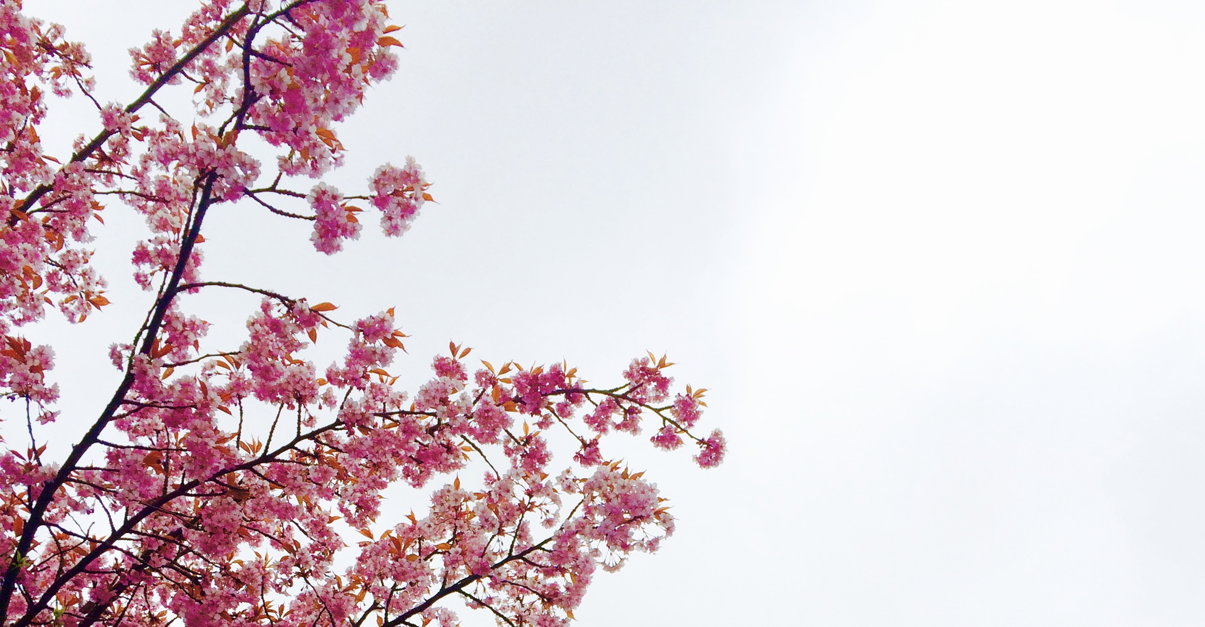 Cherry blossom tree free stock photo Cherry blossom pictures