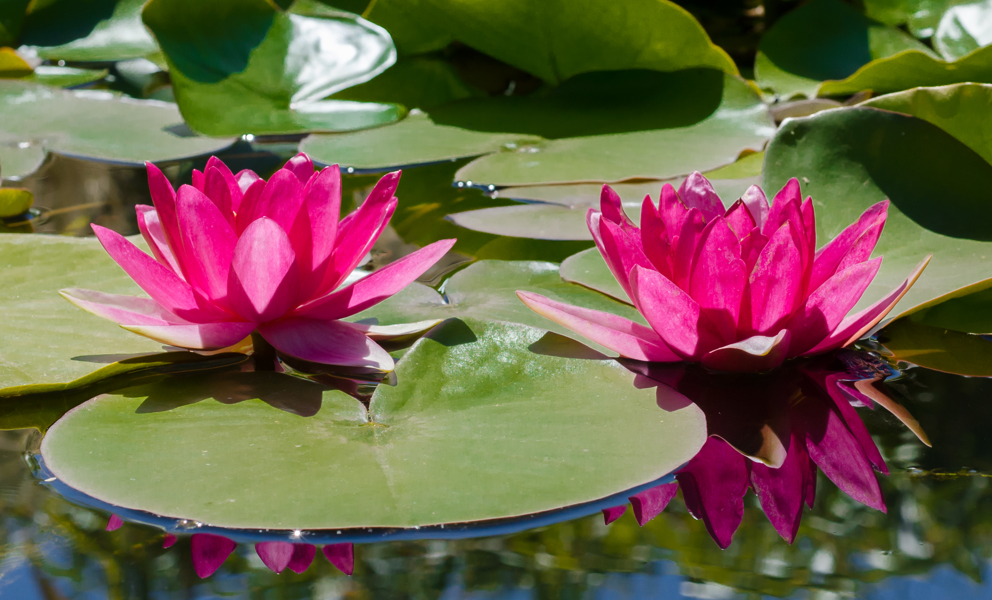 Free Stock Photo Of Pond Water Lily