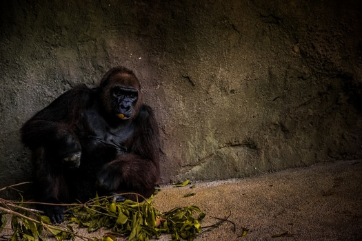 Gorilla Sitting Near Grey Rock Wall