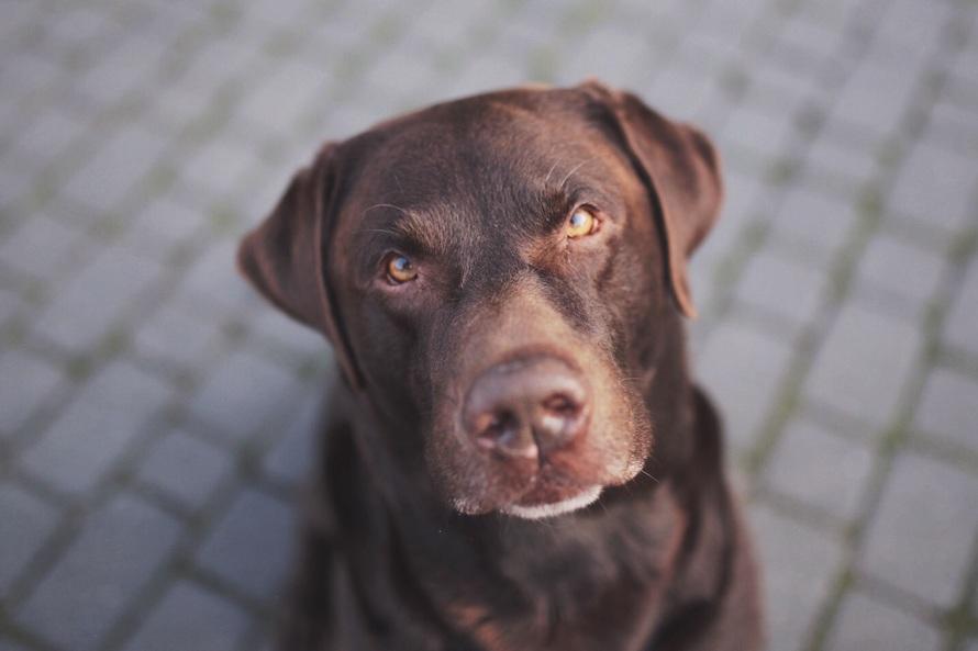 Brown Short Coated Large Dog